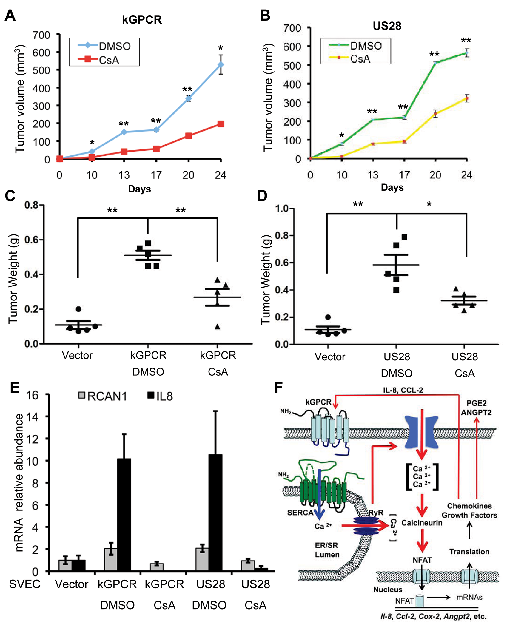 NFAT activation is critical for tumor formation induced by viral GPCRs.