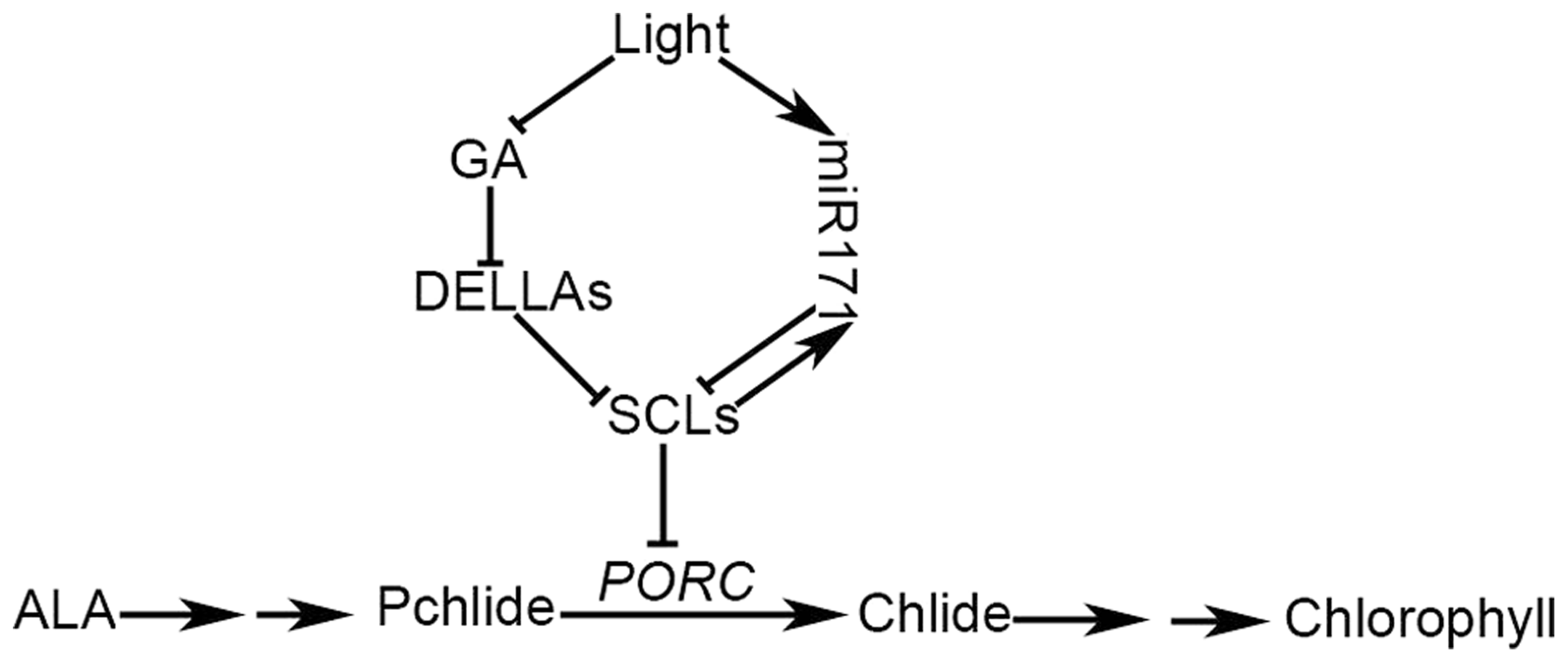 A working model of GA-regulated chlorophyll biosynthesis under the light condition.