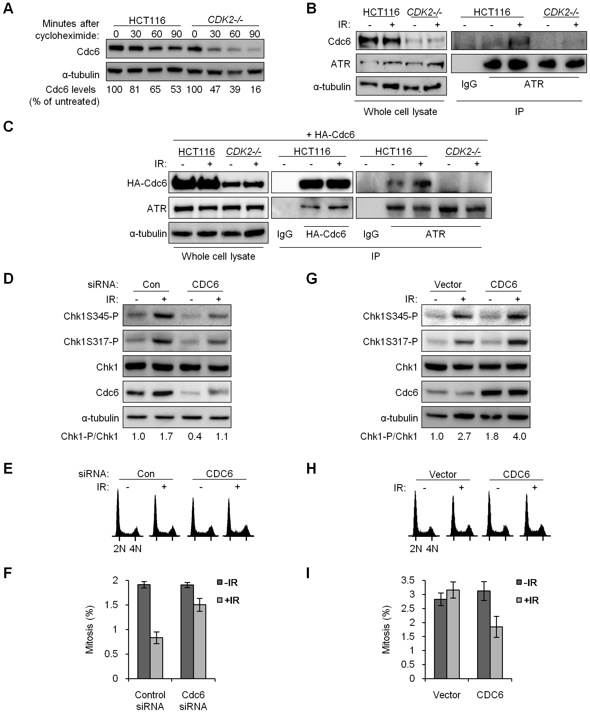 Stabilized Cdc6 facilitates Chk1 phosphorylation, associates with ATR, and controls mitotic entry.