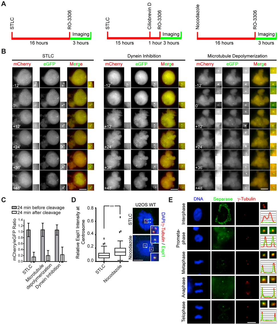 Separase localizes to centrosomes in a microtubule-independent manner.