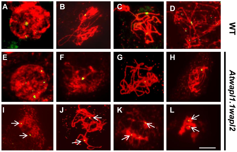 <i>Atwapl1-1wapl2</i> meiocytes exhibit alterations in homologous chromosome pairing.