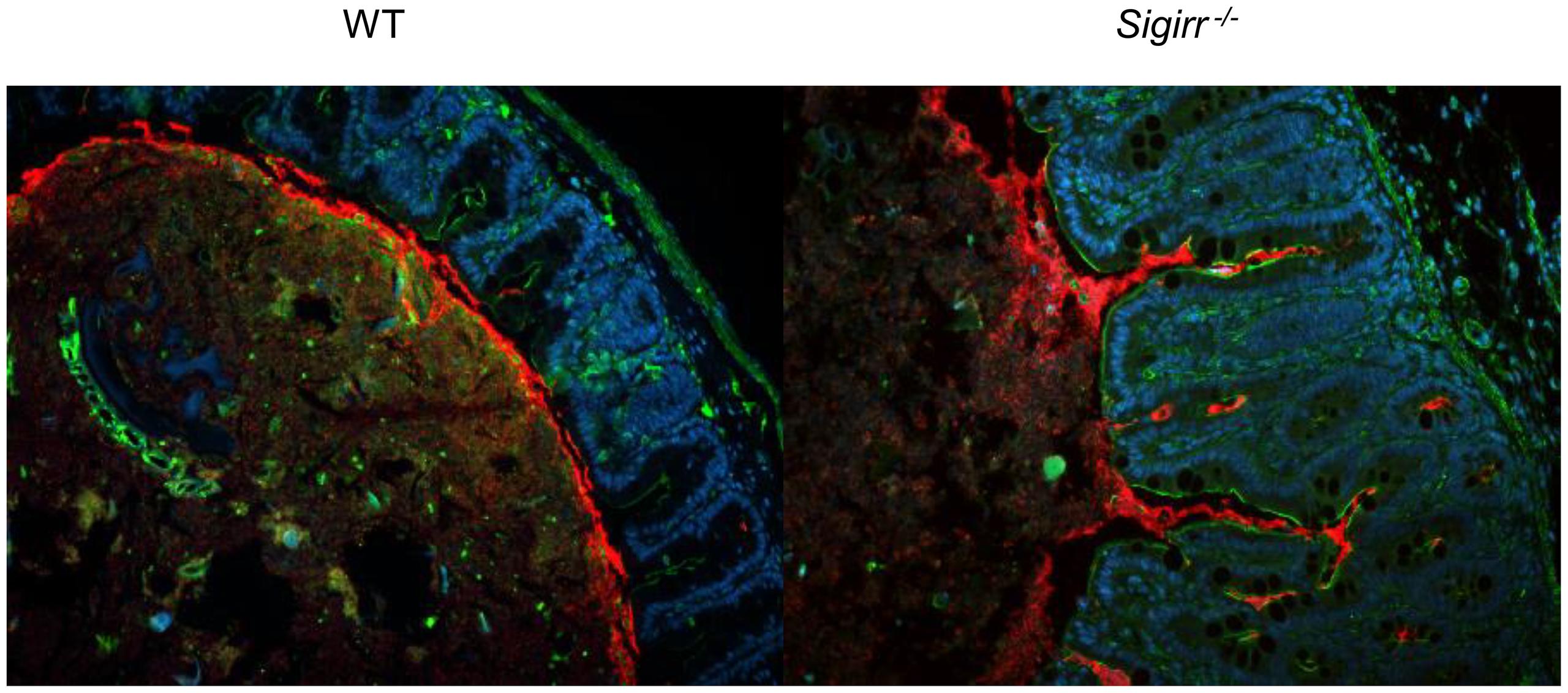 Immunofluorescence staining of <i>C. jejuni</i> cecal colonization <i>in vivo</i>.