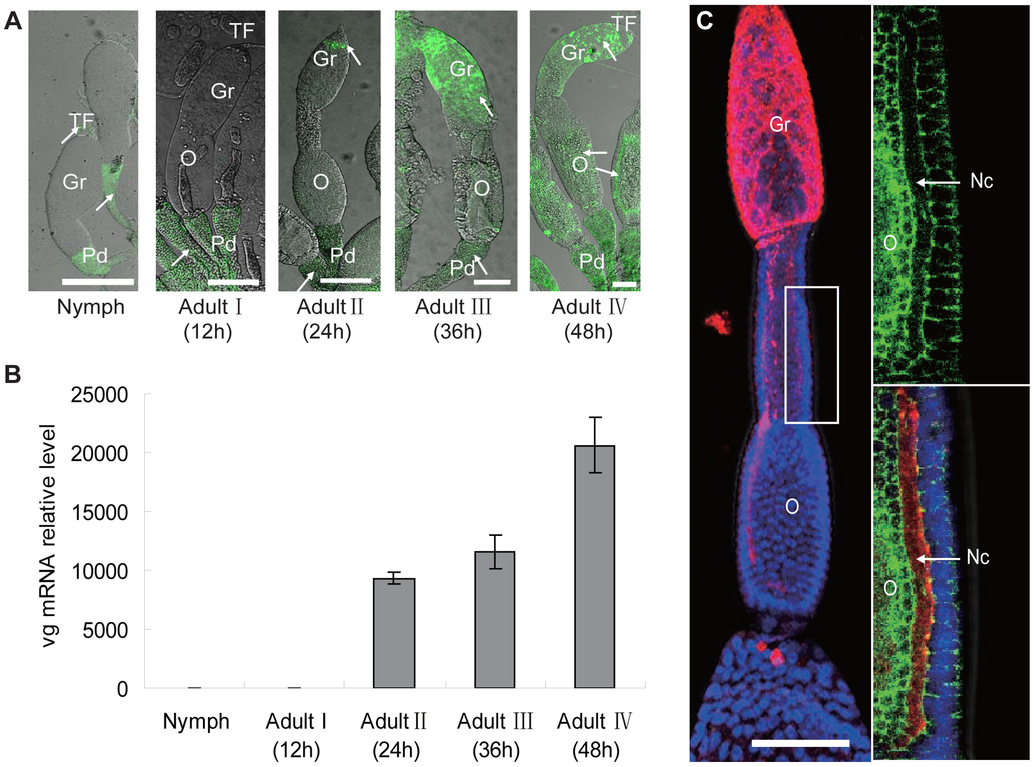 Localization of RSV in ovaries of <i>Laodelphax striatellus</i> at different stages of ovarian development.