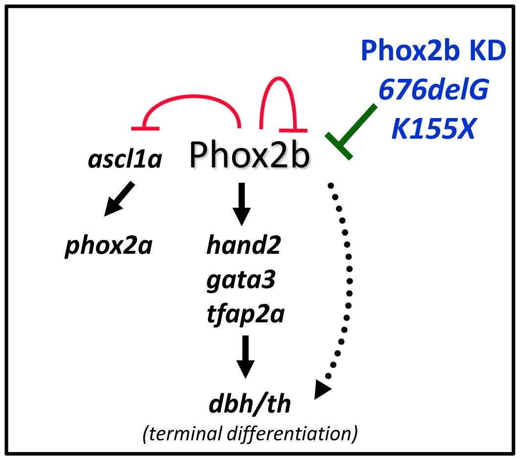 Schematic representation of the effect of aberrant Phox2b on sympathetic neuronal development in the zebrafish model.