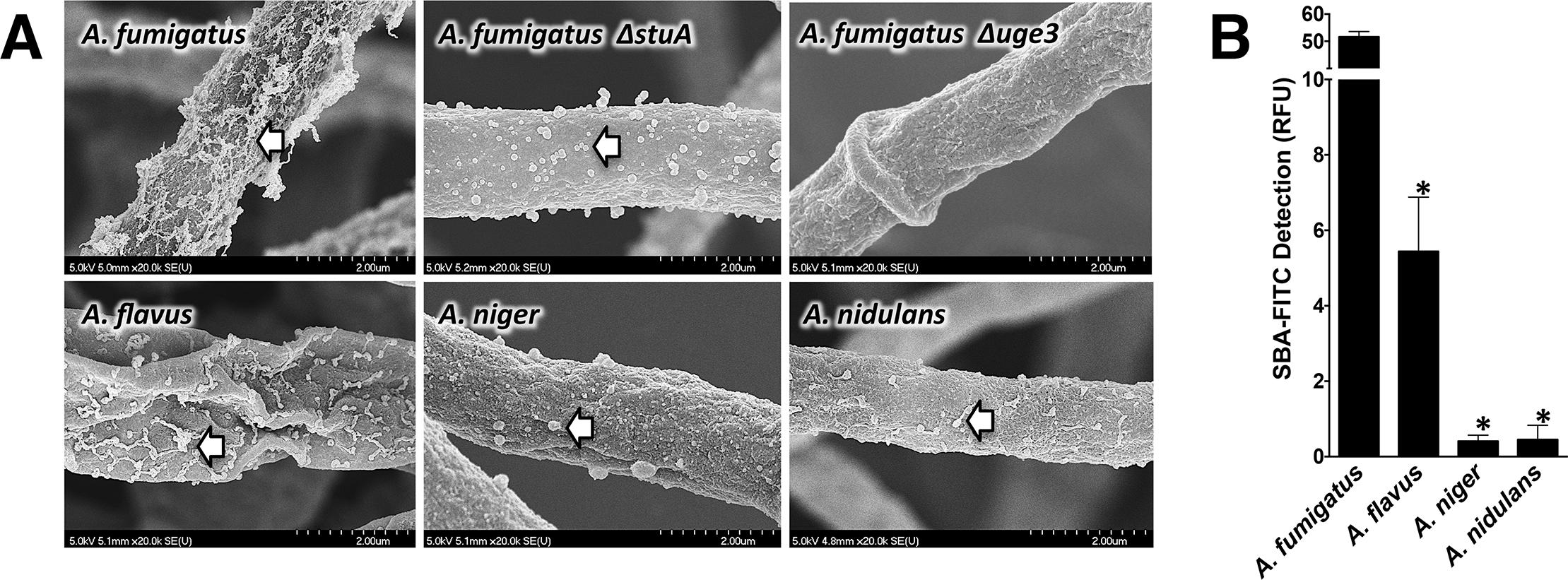 Production of GalNAc-rich GAG correlates with reported virulence of <i>Aspergillus spp</i>.