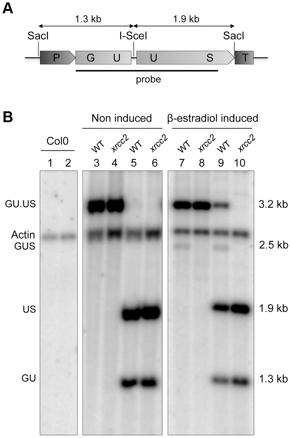 Molecular confirmation of recombination in WT, but not <i>xrcc2</i> mutant plants.