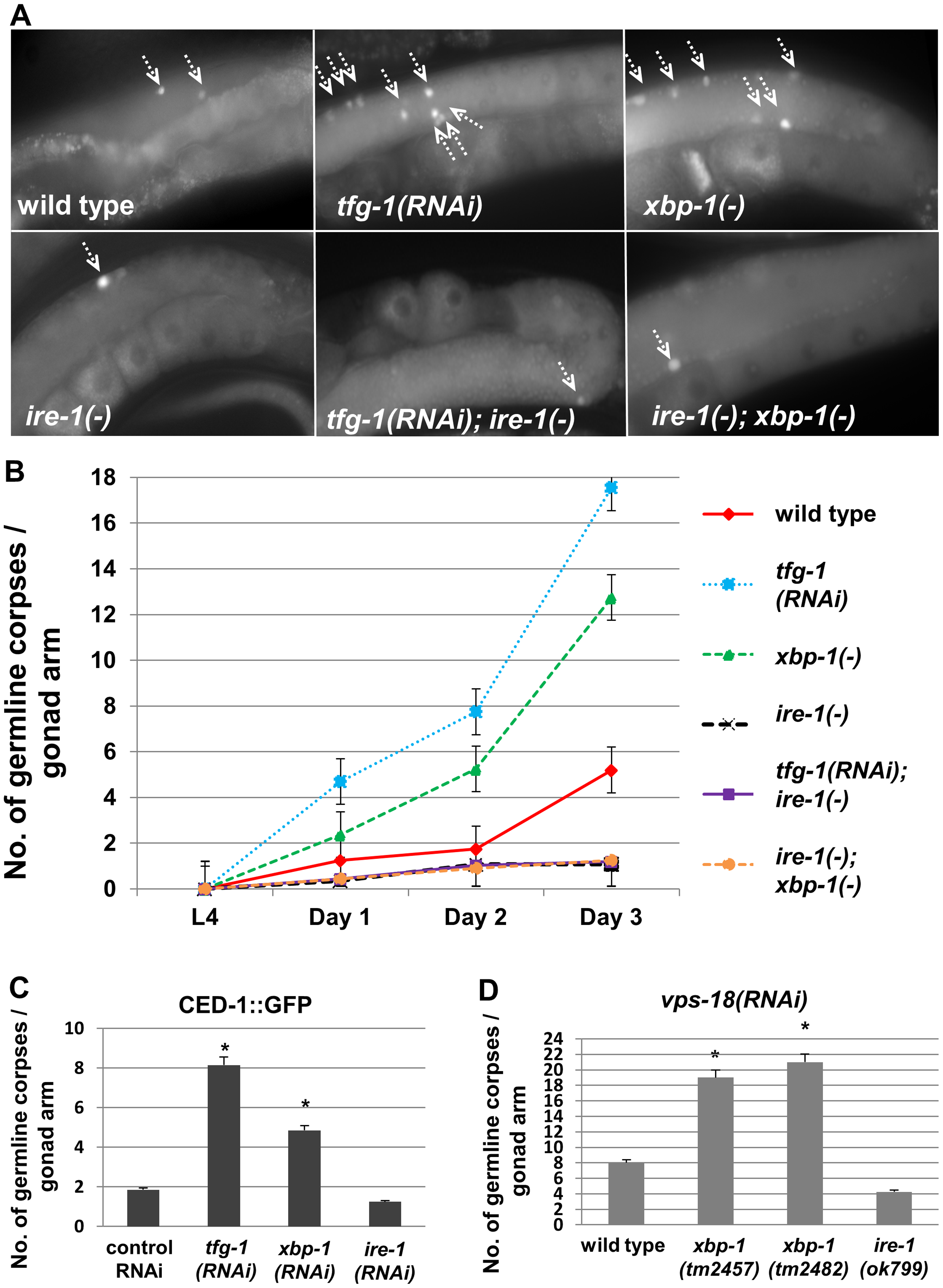 Genetically-induced ER stress increases germ cell apoptosis in an <i>ire-1</i>-dependent manner.