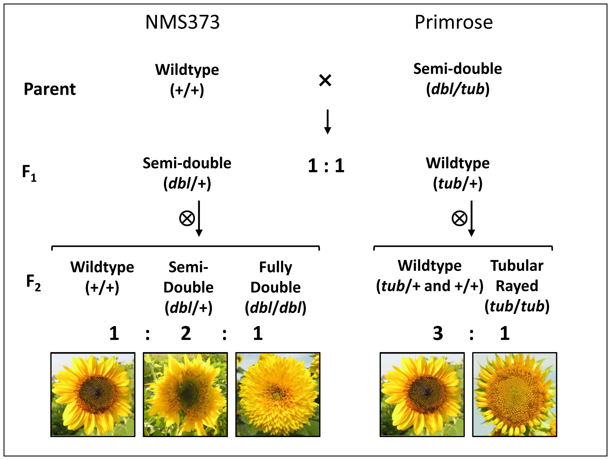 Crossing design employed to investigate the genetics of floral symmetry in sunflower with representative phenotypes shown only for the F<sub>2</sub>.
