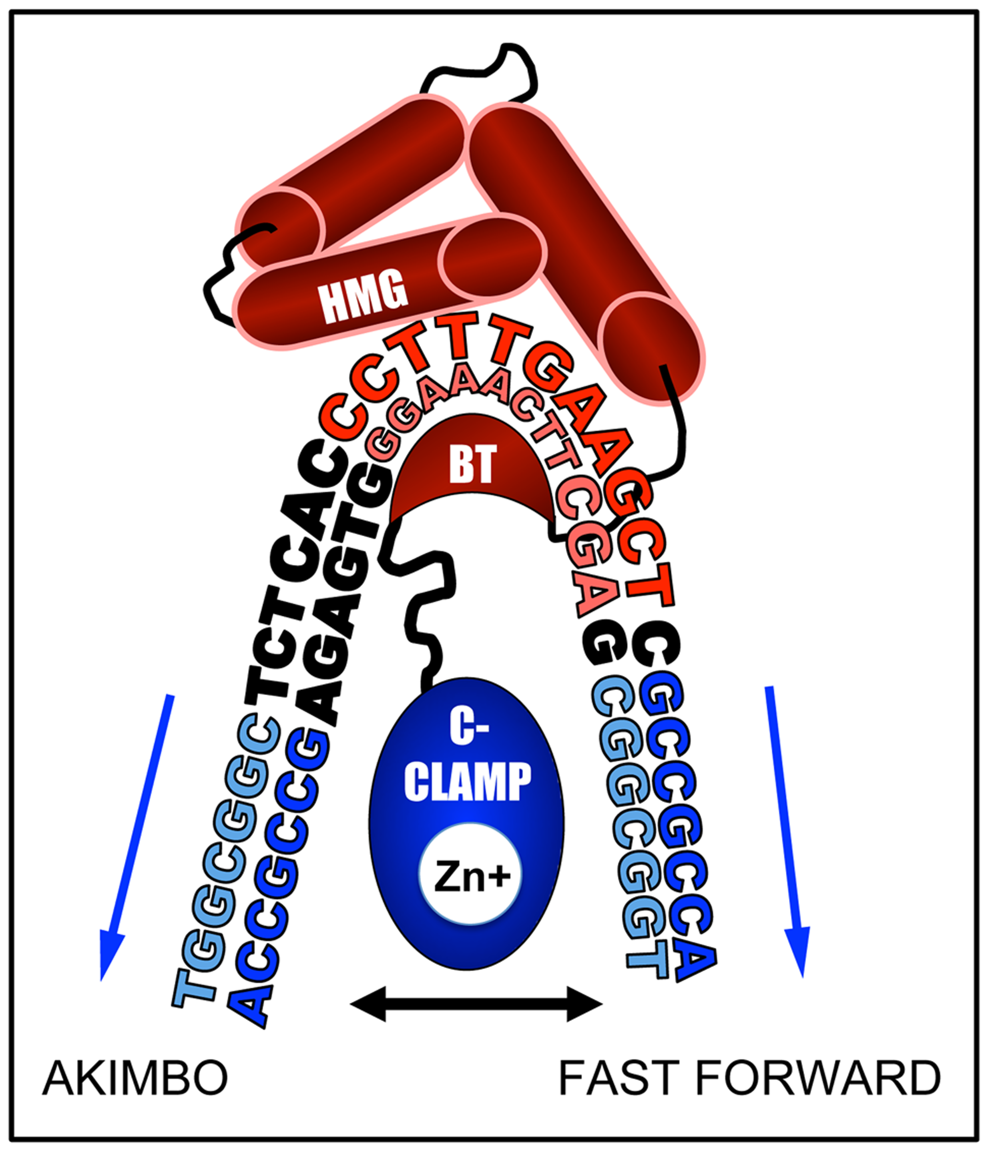 DNA bending by the HMG domain could explain preferential binding for AK6 and FF0 configurations.