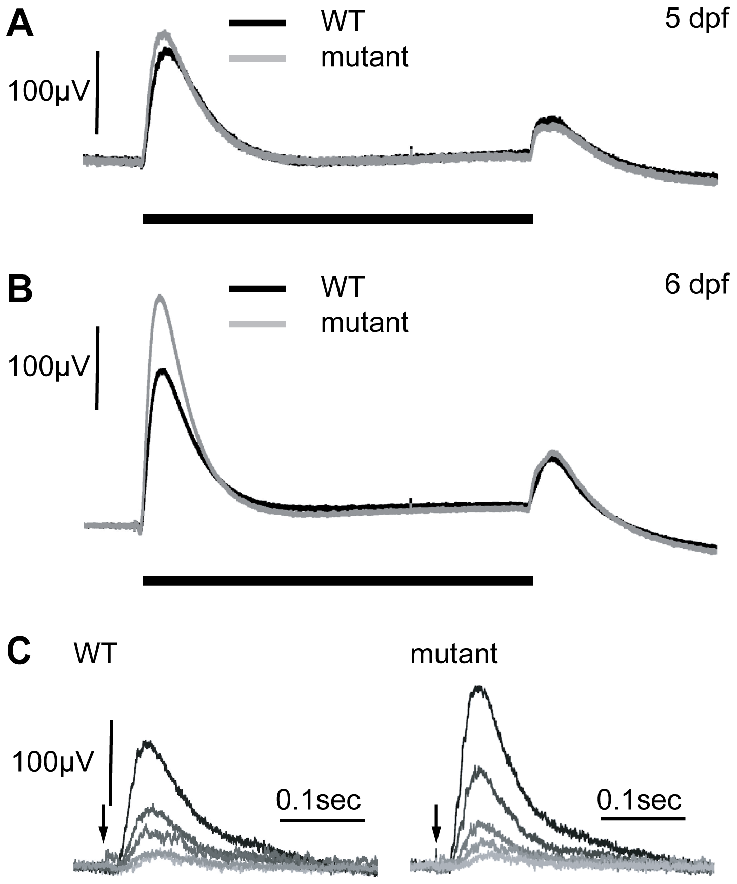 Electroretinograms show an increase in the b-wave response in mutants at 6 dpf.