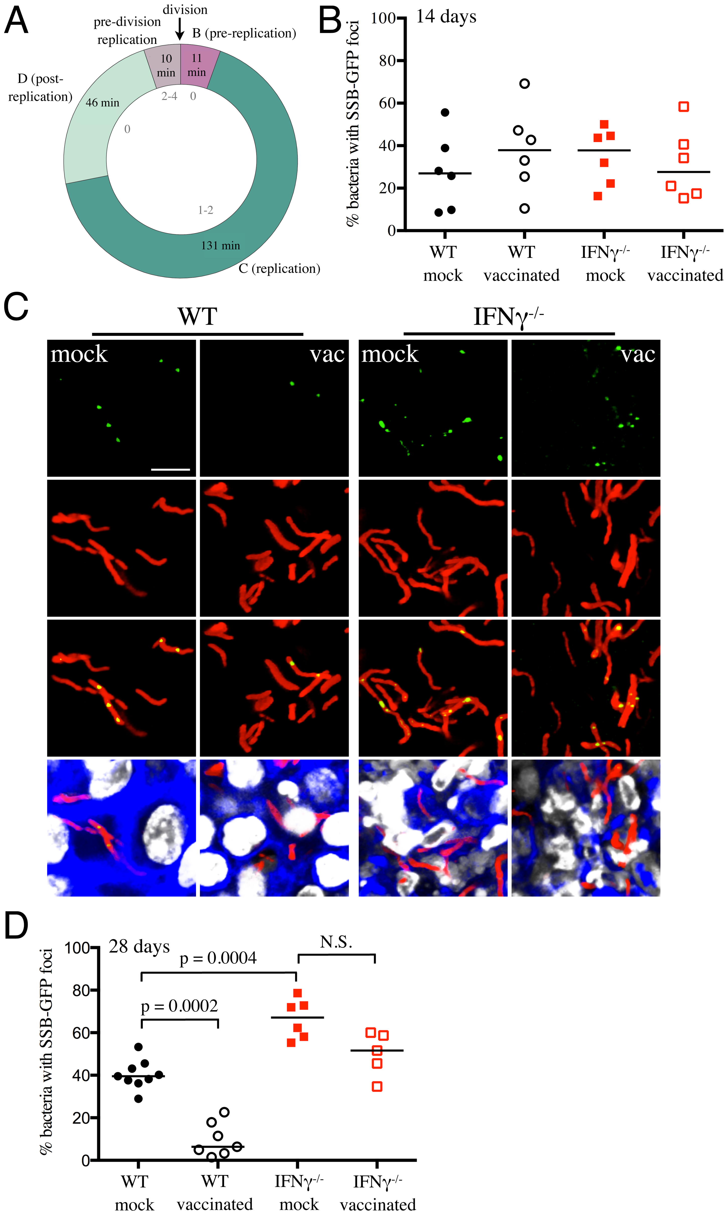 Mtb replication in vaccinated versus mock-treated mice.