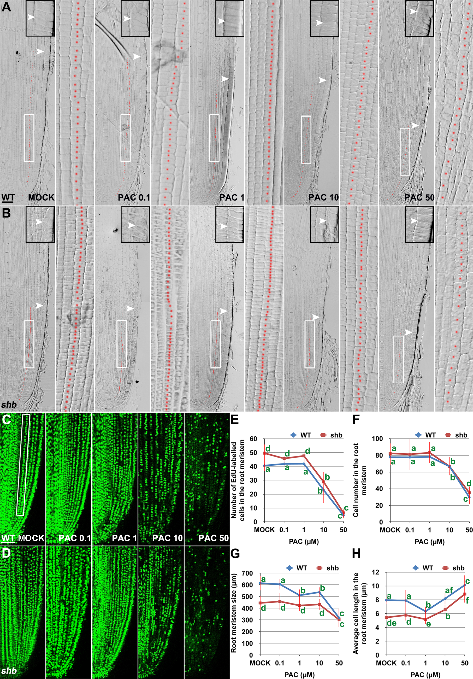 PAC has a dose-dependent effect on cell elongation and proliferation in the root meristem.