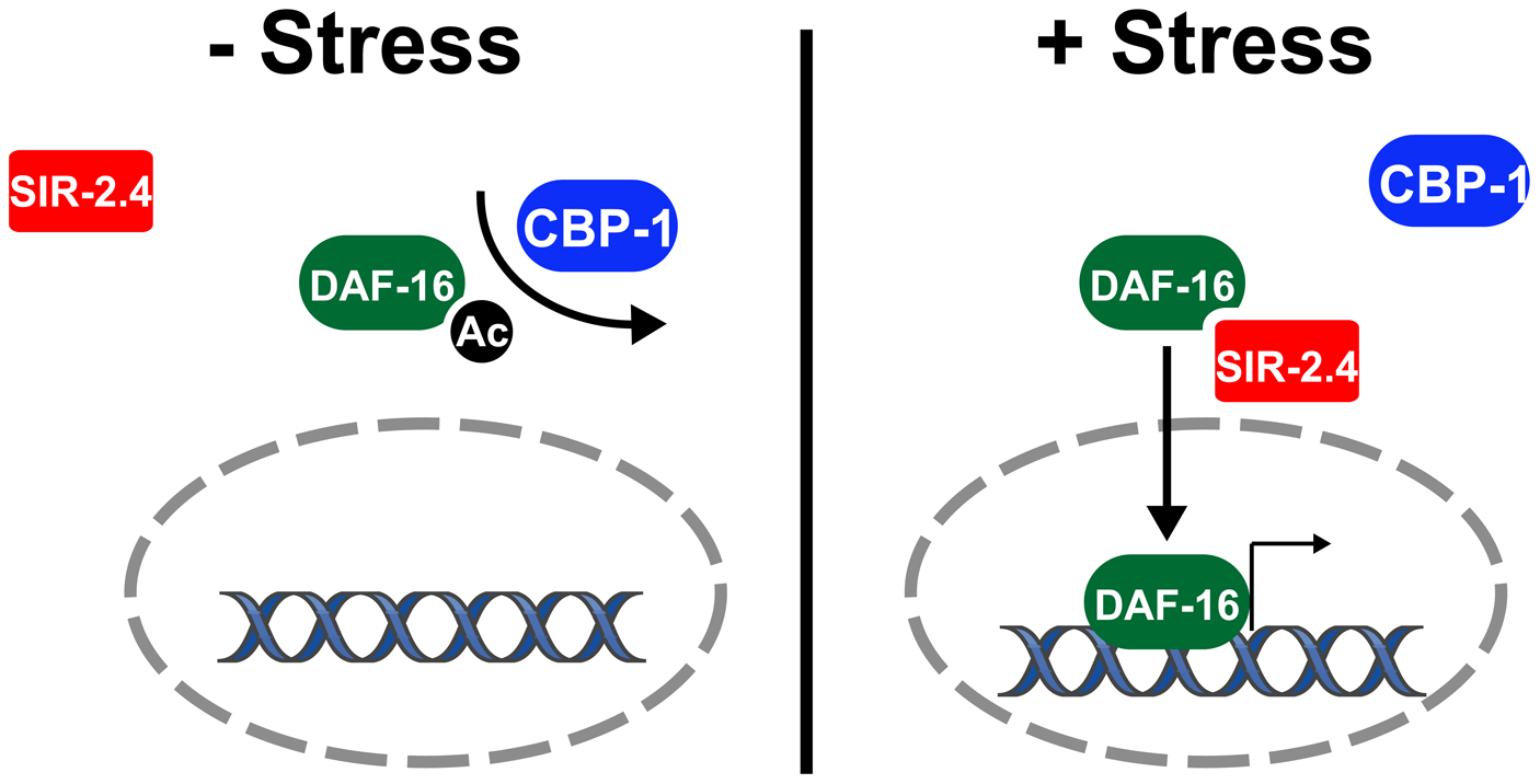 Model: SIR-2.4 promotes DAF-16 deacetylation and function during stress.