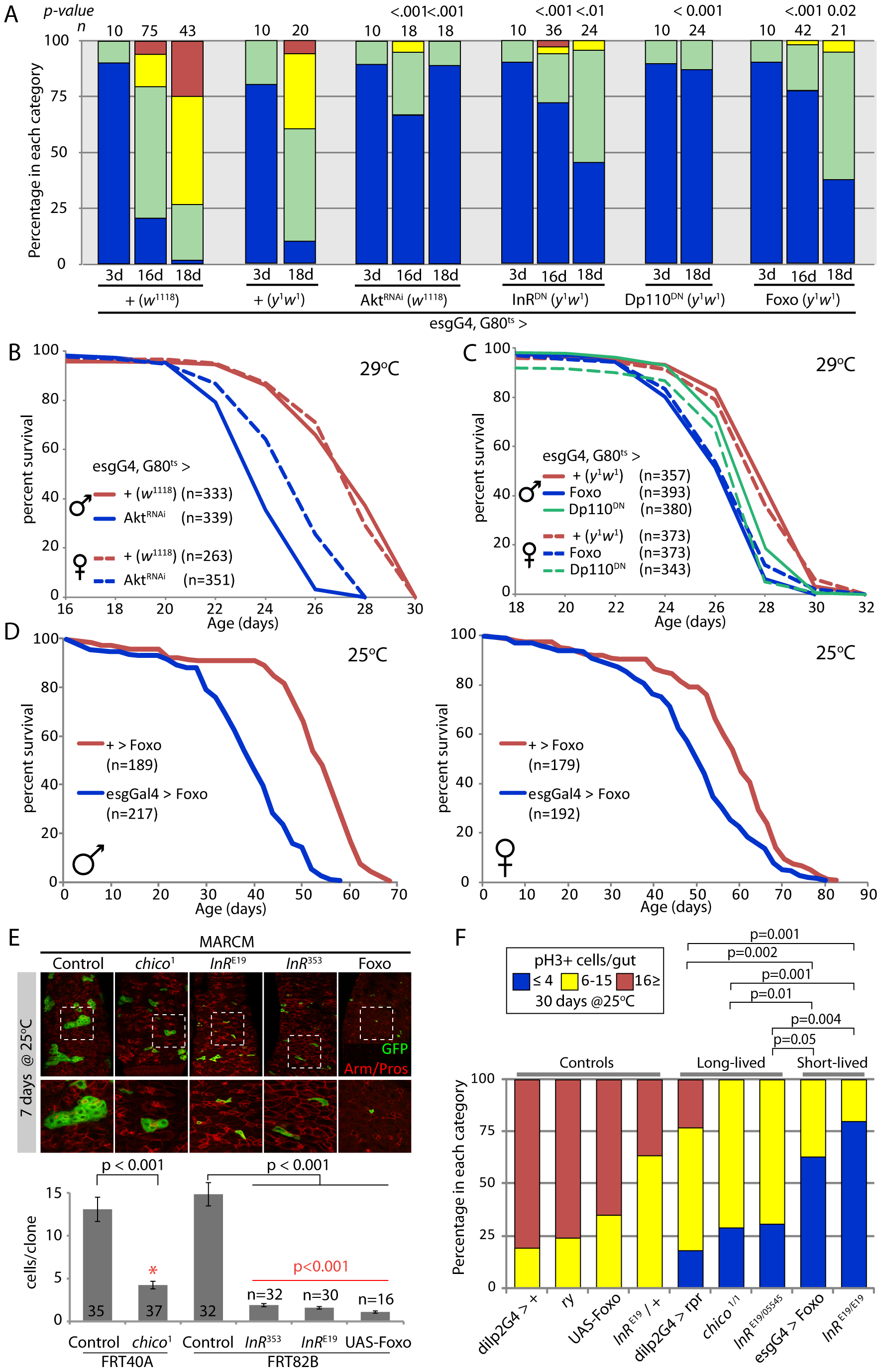Strong reduction of insulin signaling in the somatic stem cell lineages delays age-related dysplasia and shortens lifespan.