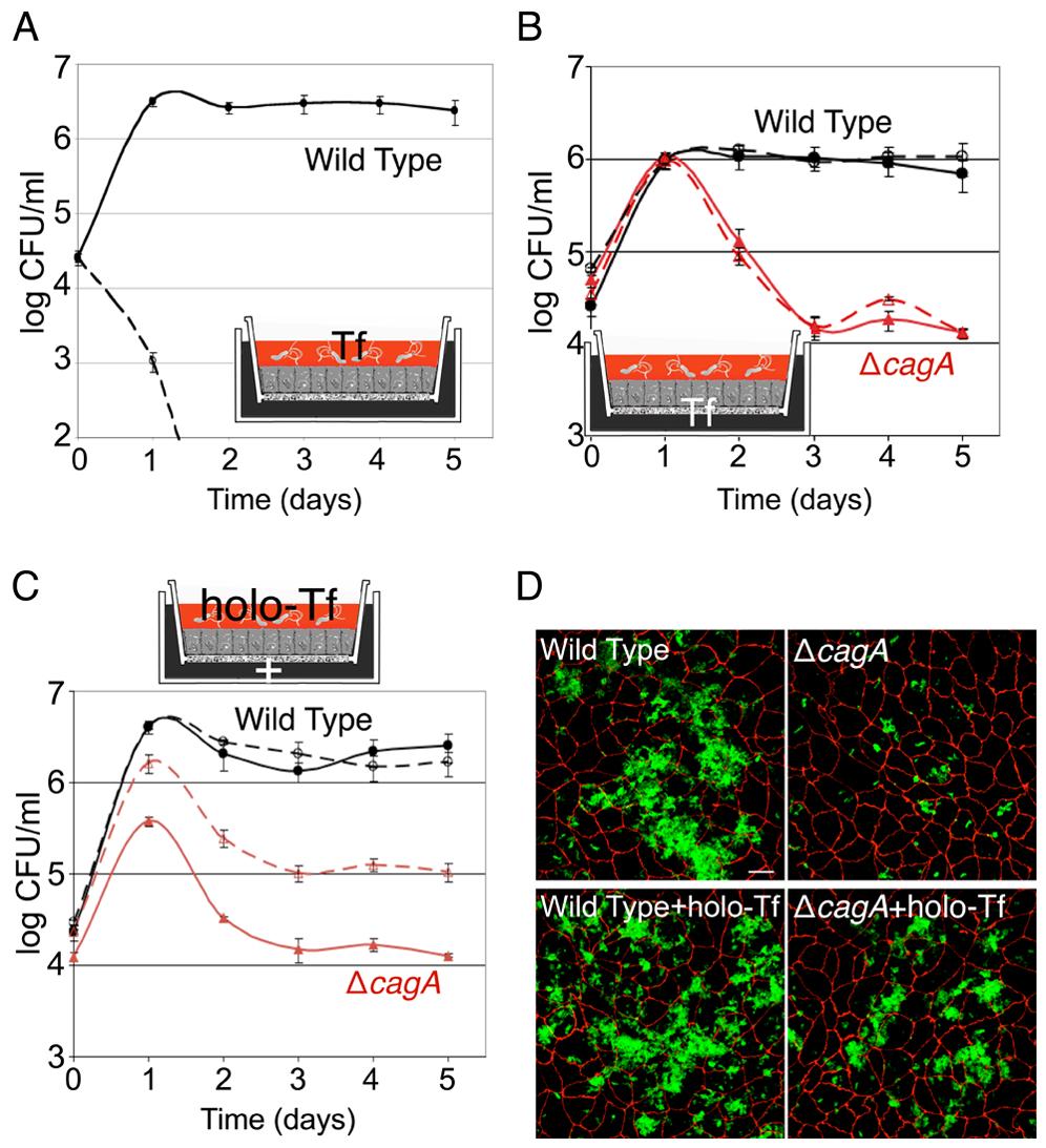 Holotransferrin promotes <i>Hp</i> microcolony growth on the cell surface.