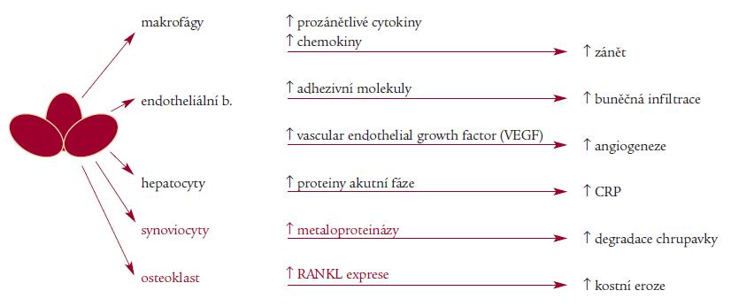 TNF – klíčový patogen u revmatických onemocnění.