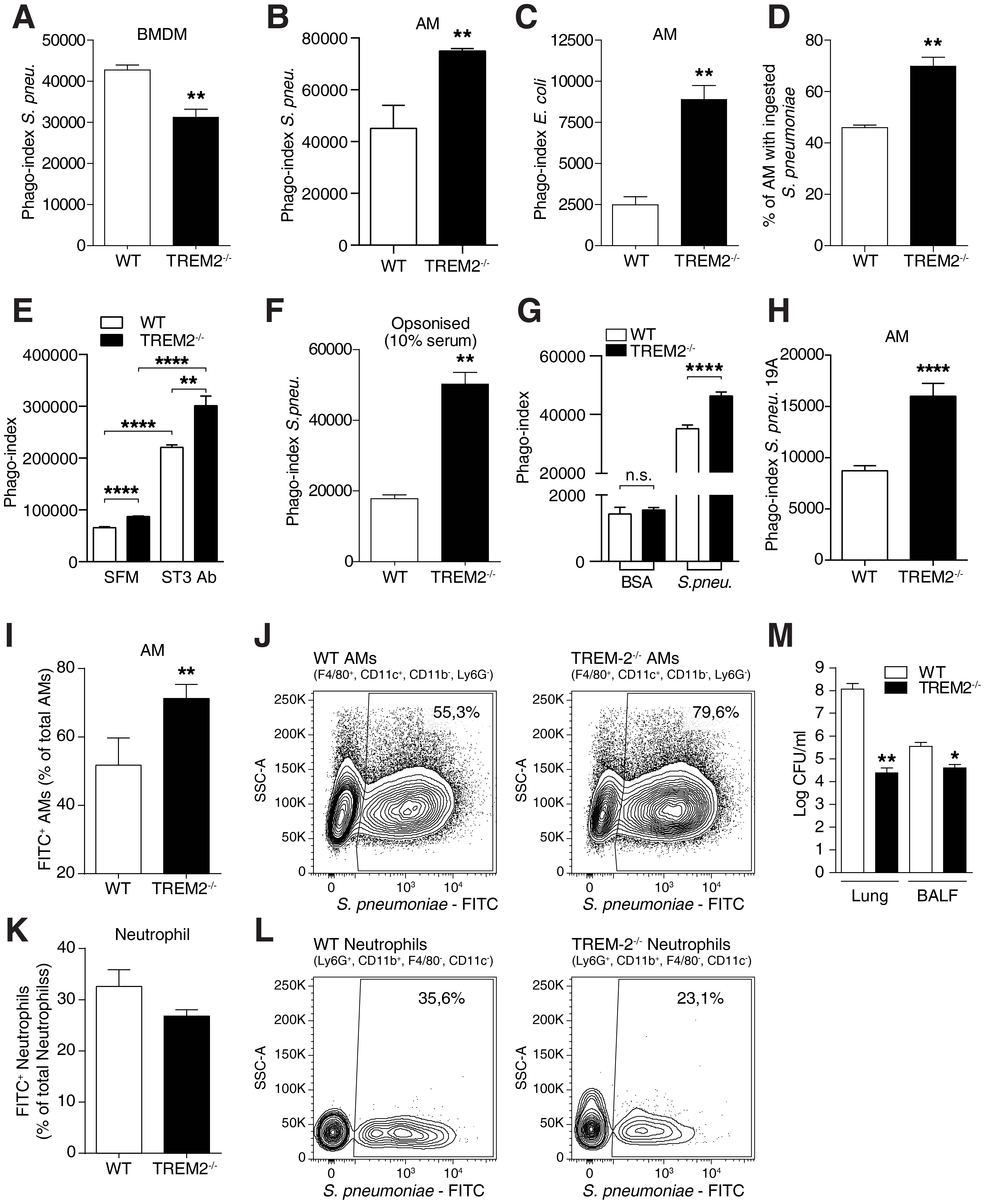 Elevated phagocytosis of bacteria by TREM-2 deficient AM.