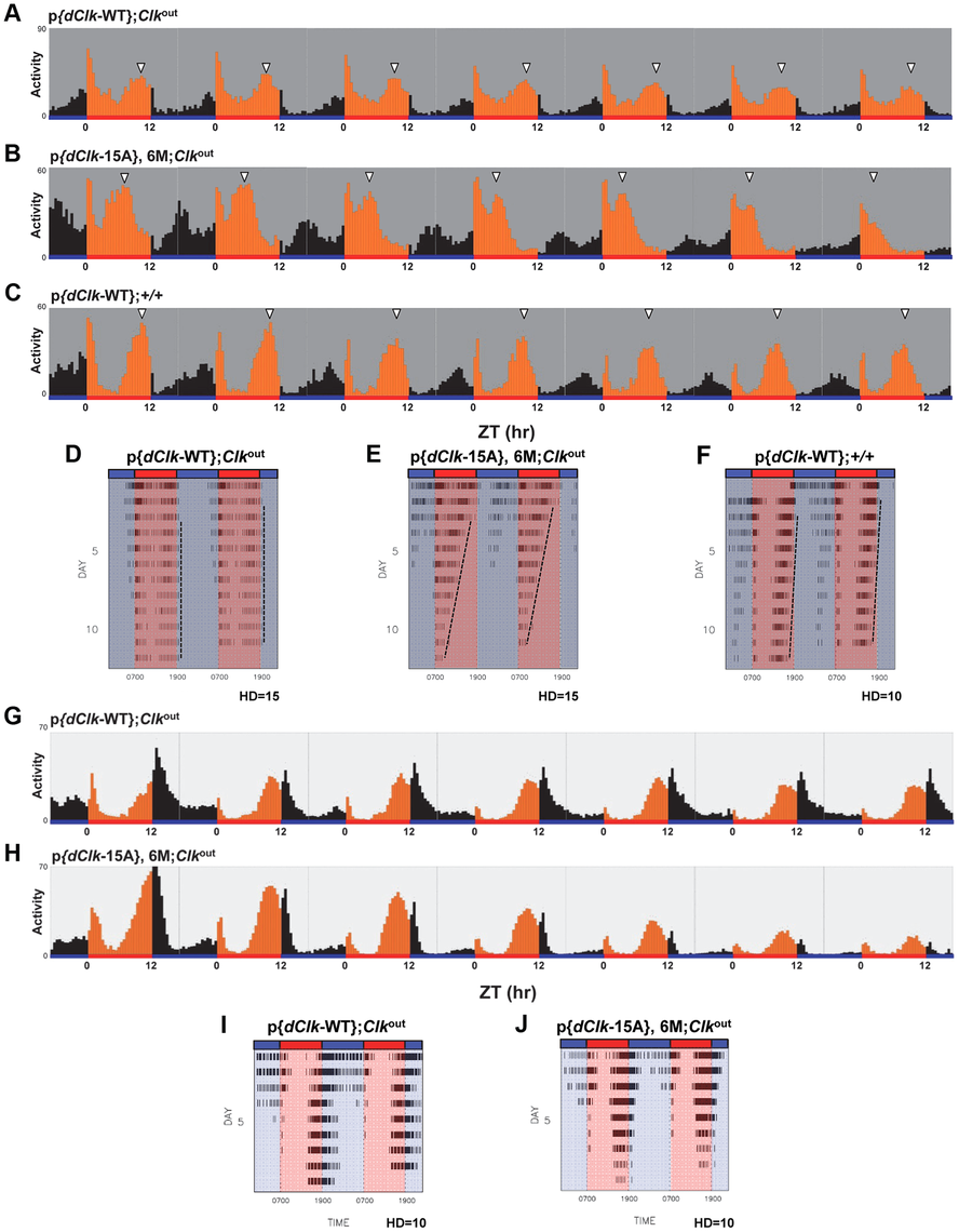 Impaired behavioral entrainment of p{<i>dClk</i>-15A};<i>Clk</i><sup>out</sup> flies in daily temperature cycles.