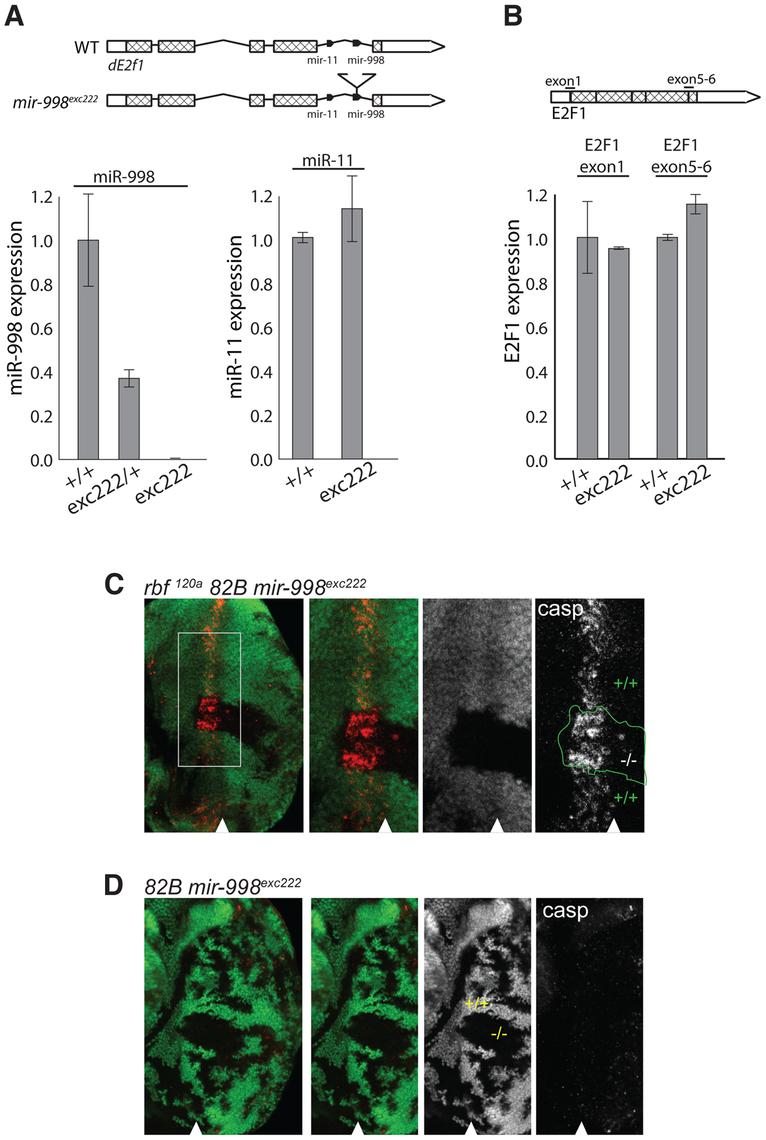 <i>mir-998</i><sup>exc222</sup> mutant allele enhances apoptosis in <i>rbf</i> mutant eye discs.