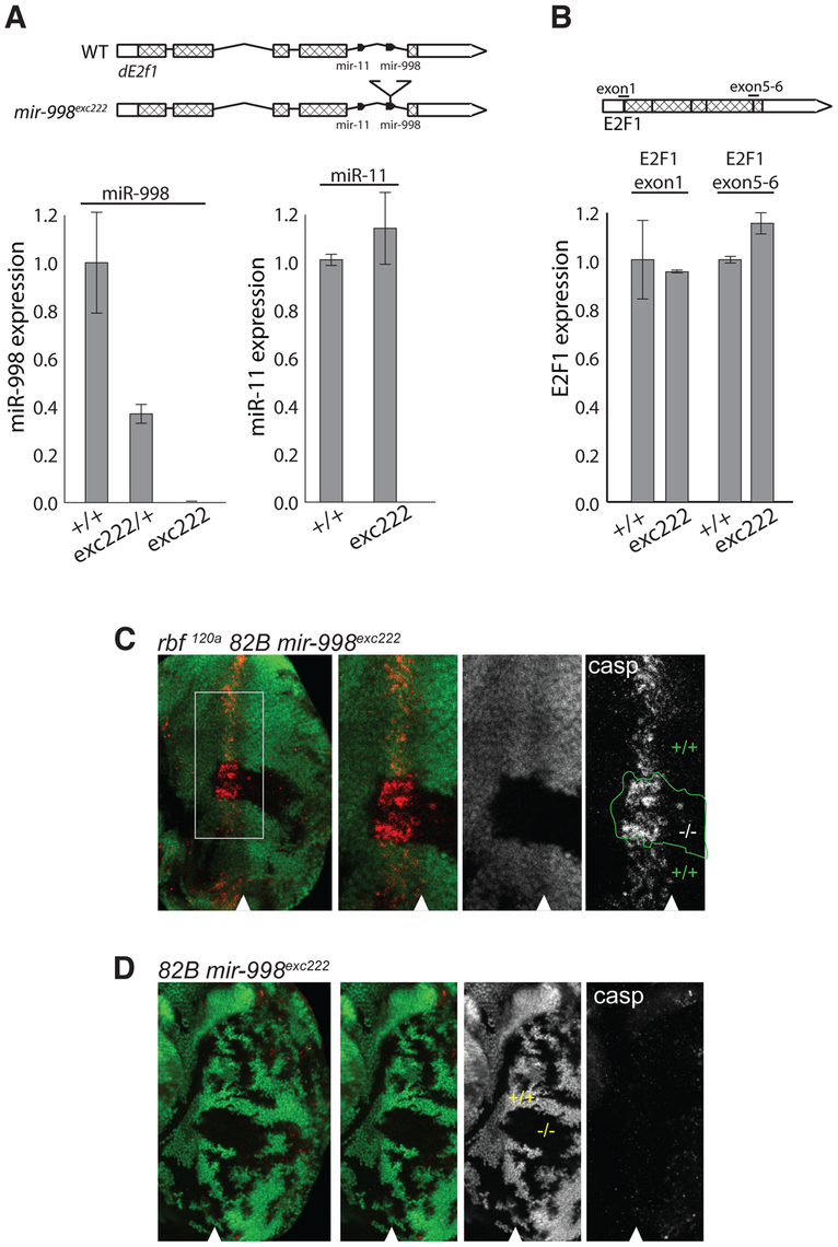 <i>mir-998</i><sup>exc222</sup> mutant allele enhances apoptosis in <i>rbf</i> mutant eye discs.