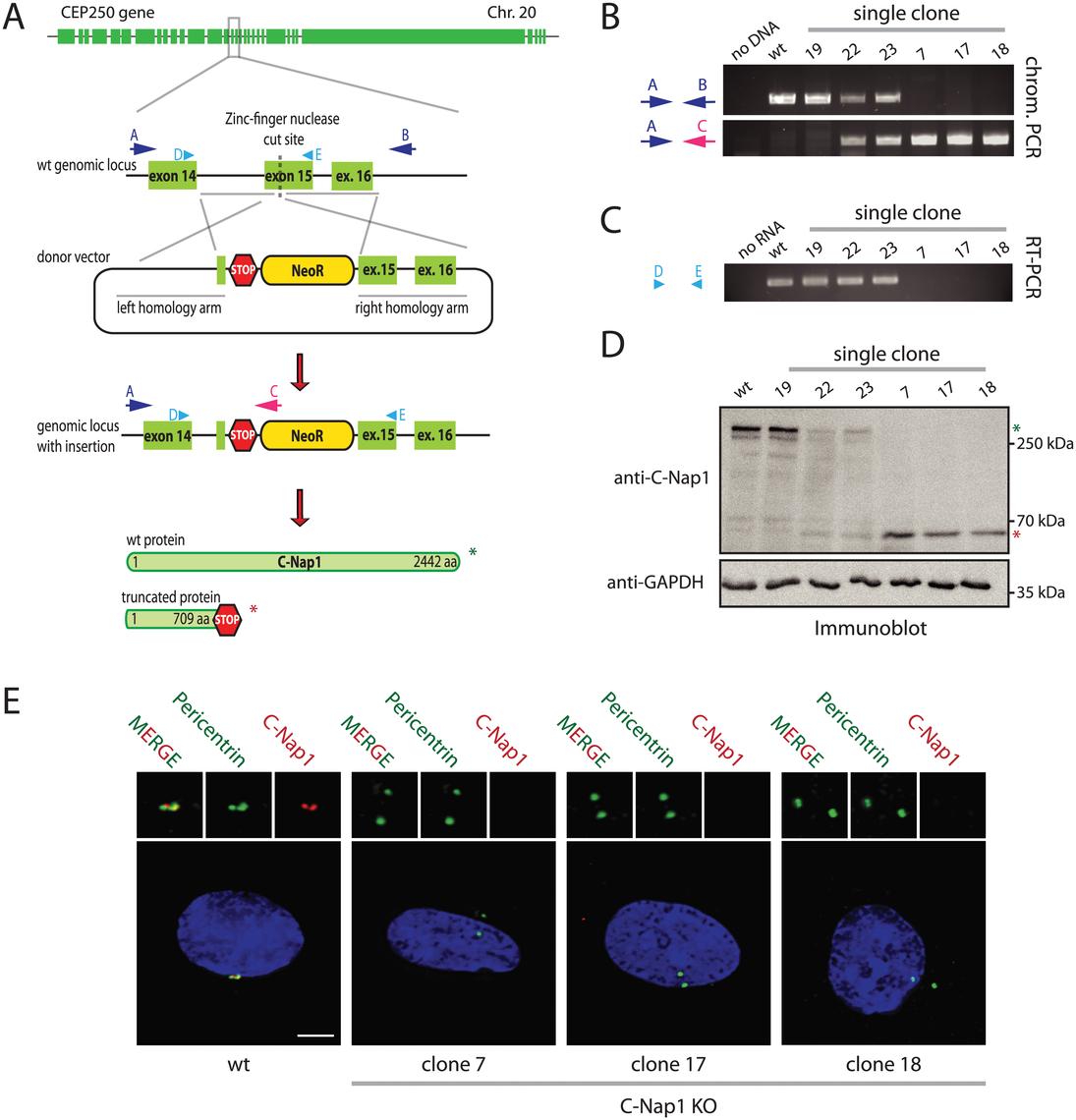 Construction of RPE1 C-Nap1 KO cells.