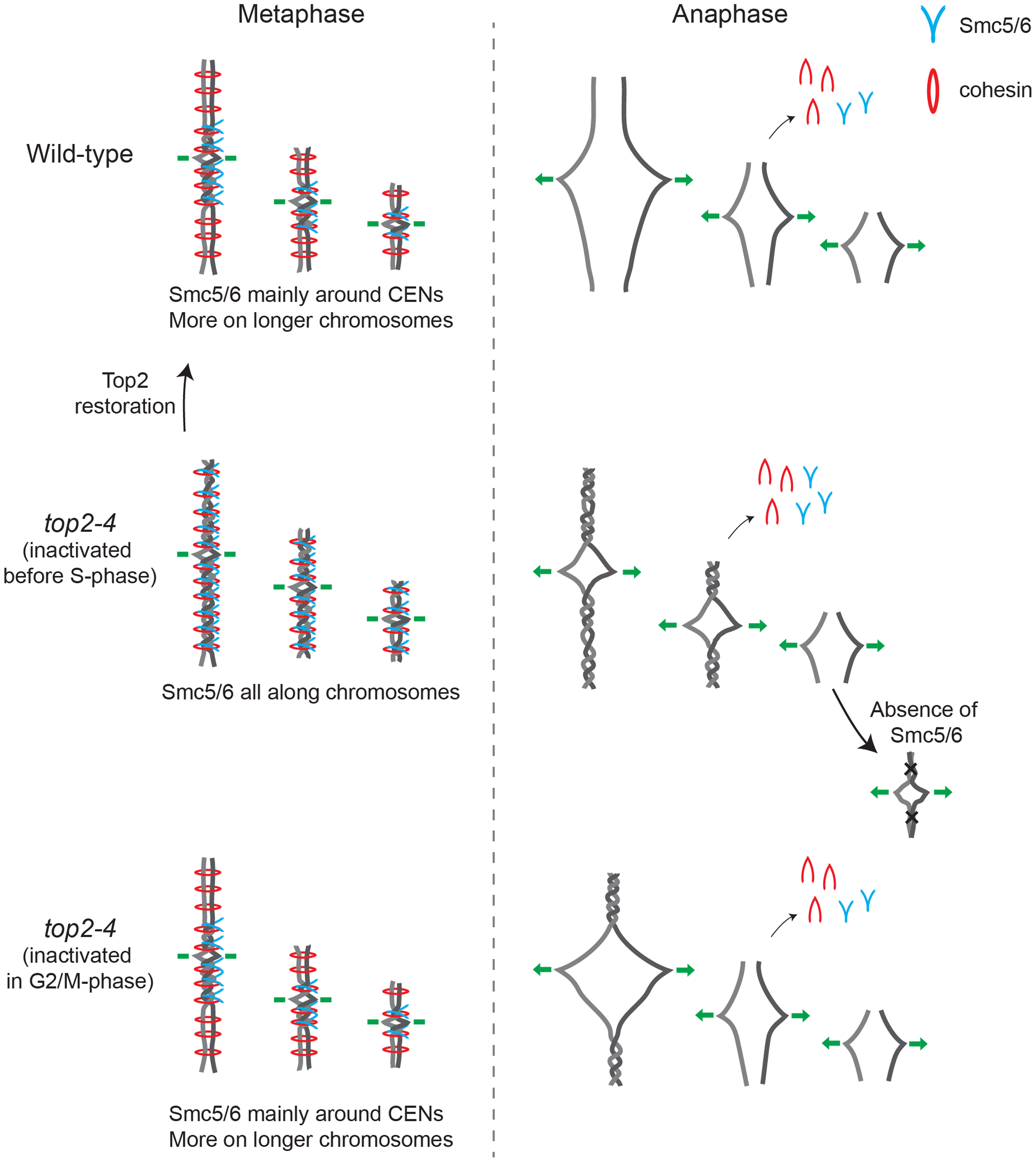 Model describing the connection between chromosome segregation and the chromosomal association of Smc5/6 and cohesin.