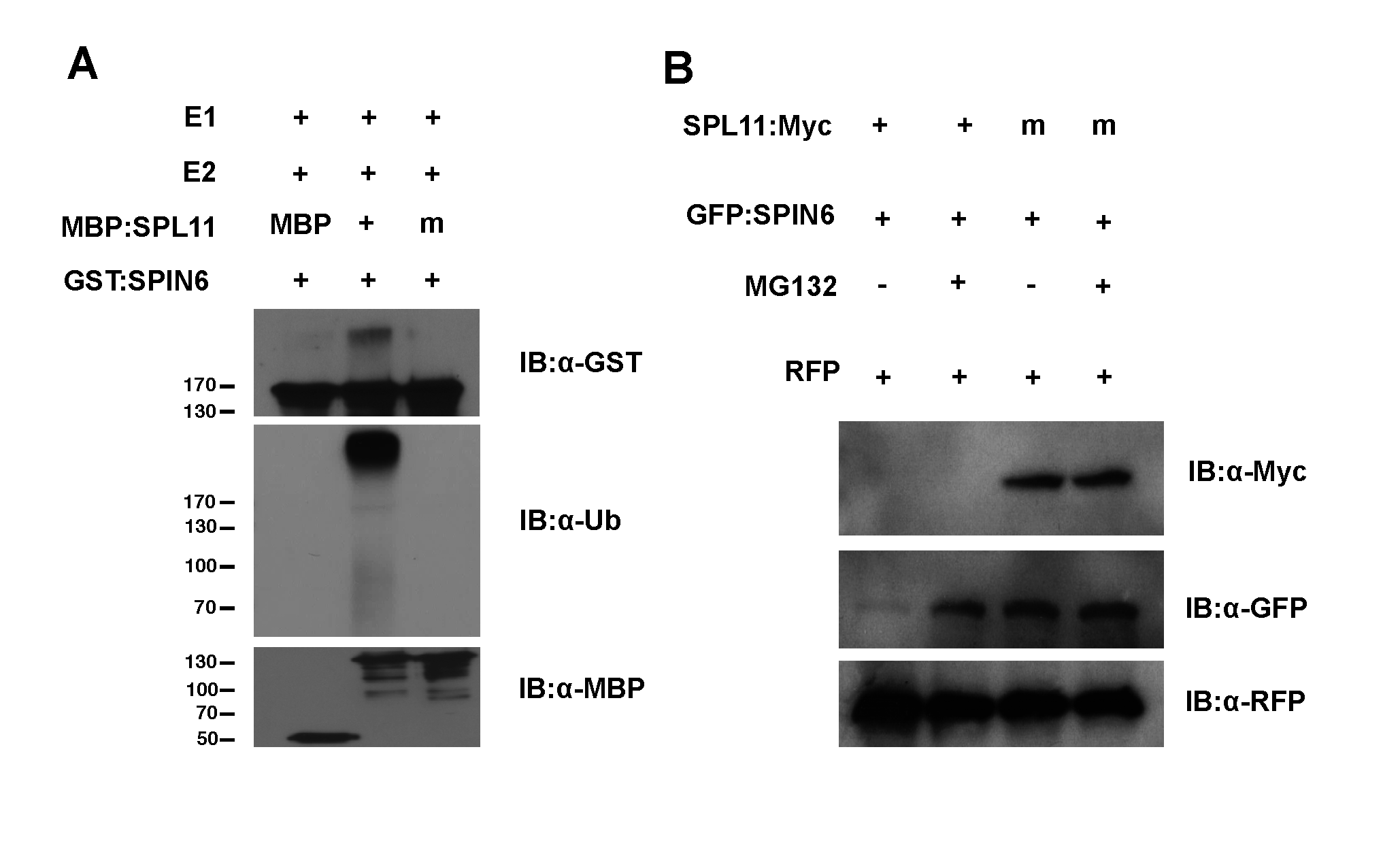 Ubiquitination of SPIN6 <i>in vitro</i> and degradation of SPIN6 in <i>N</i>. <i>benthamiana</i> by SPL11.
