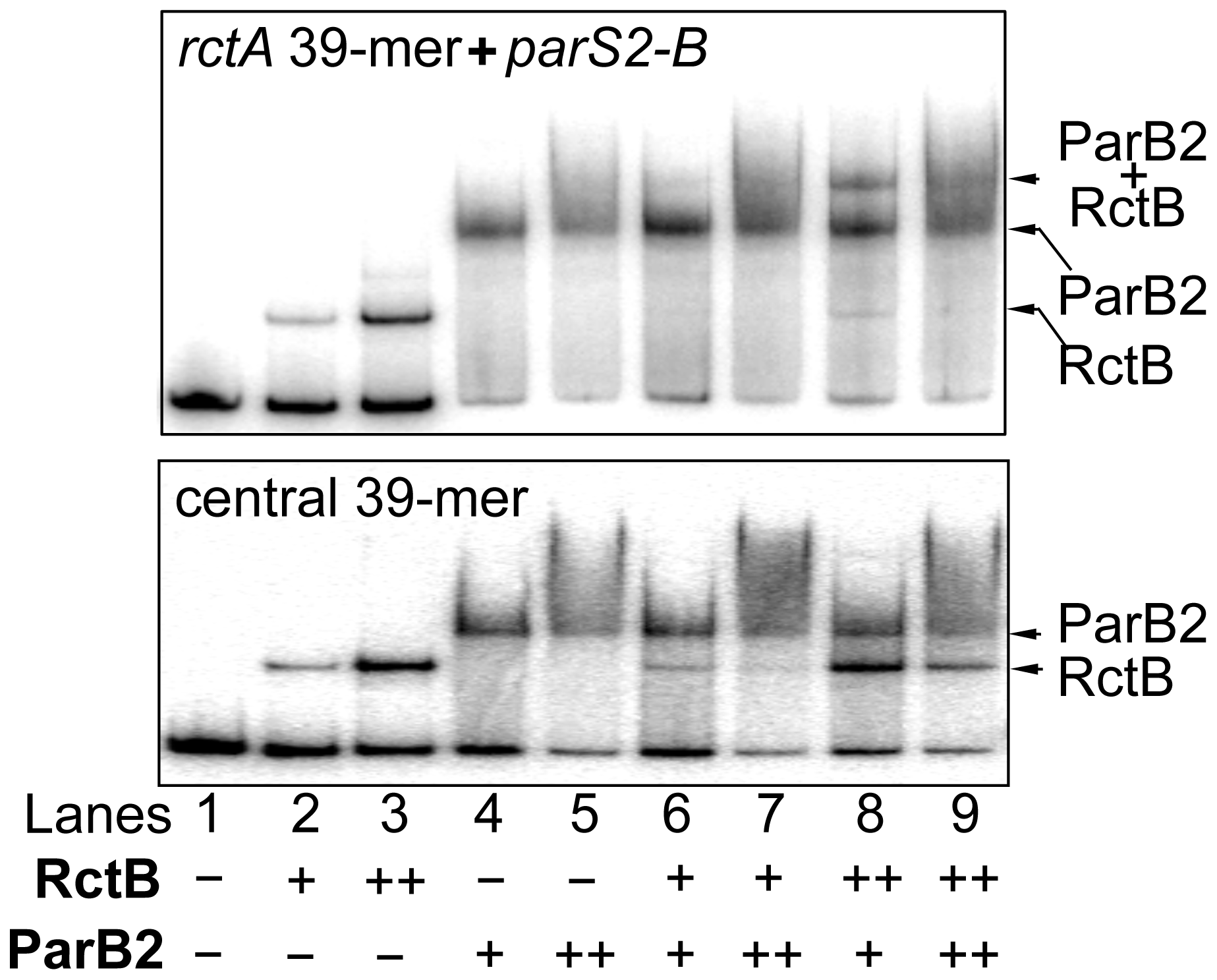 ParB2 and RctB bind simultaneously to <i>rctA</i>, but competitively to the central 39-mer.