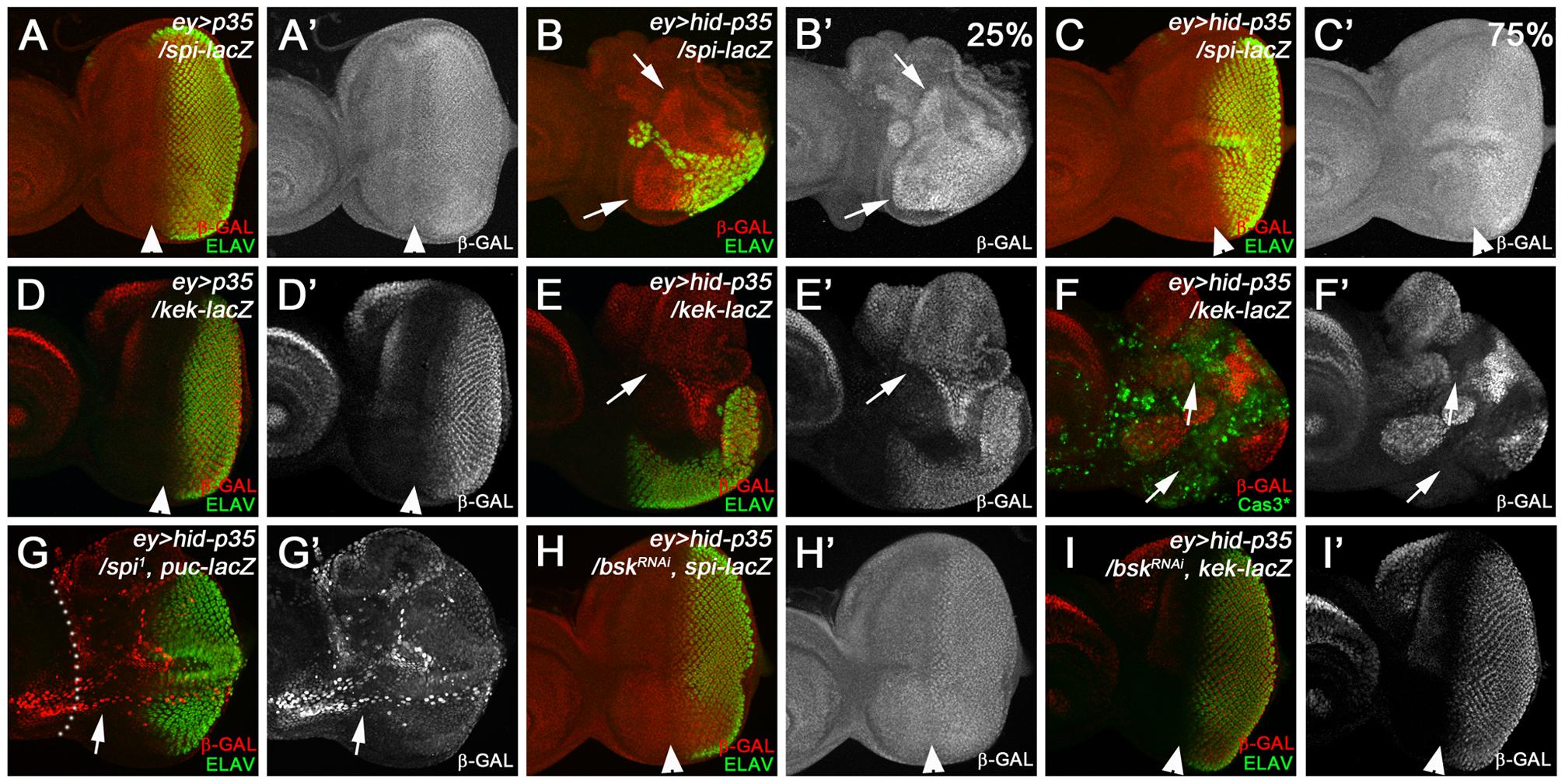 Epistasis analysis of <i>spi</i> and <i>bsk</i>.