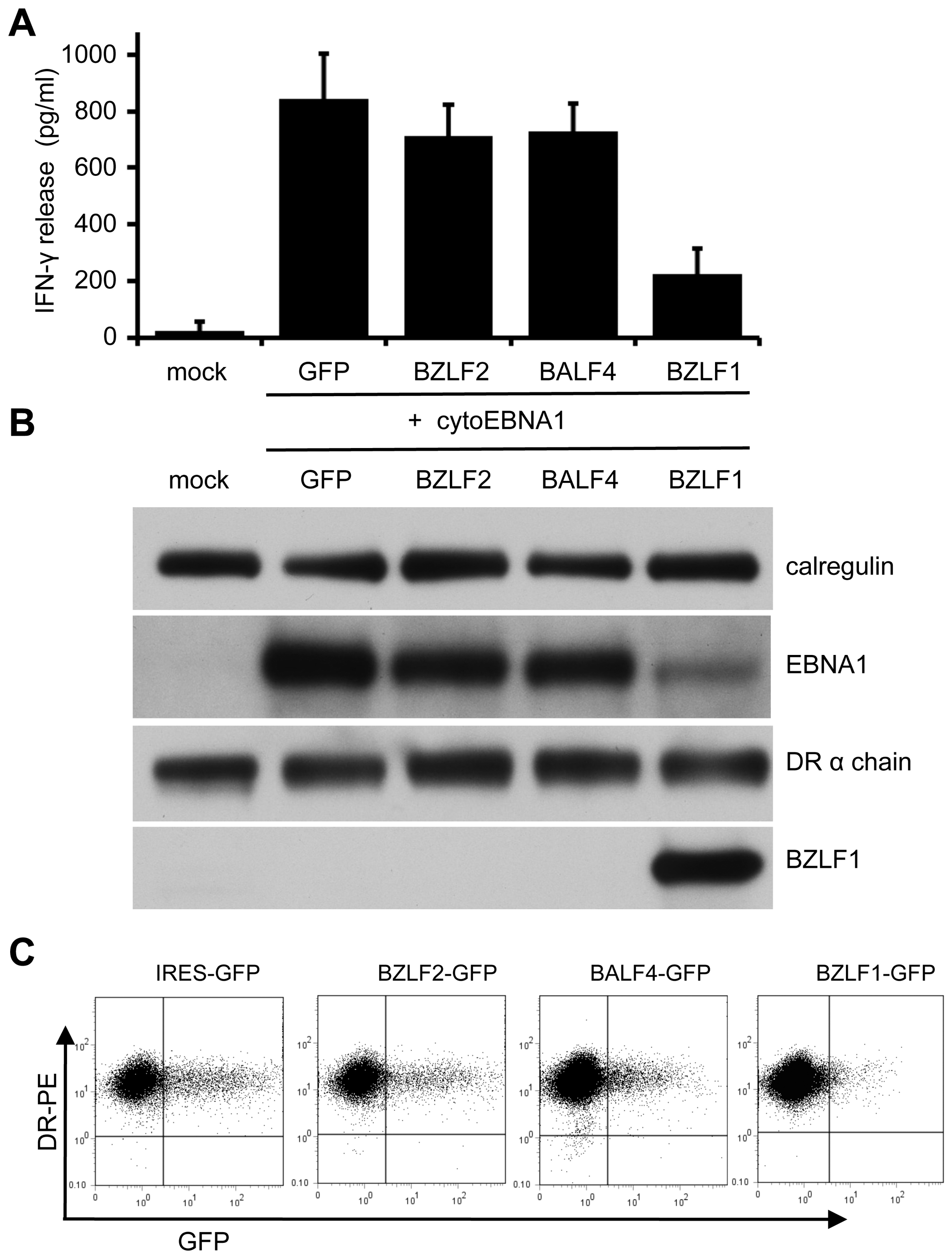 Effect of BZLF1 on CD4<sup>+</sup> T cell recognition of MHC-II presented antigen.