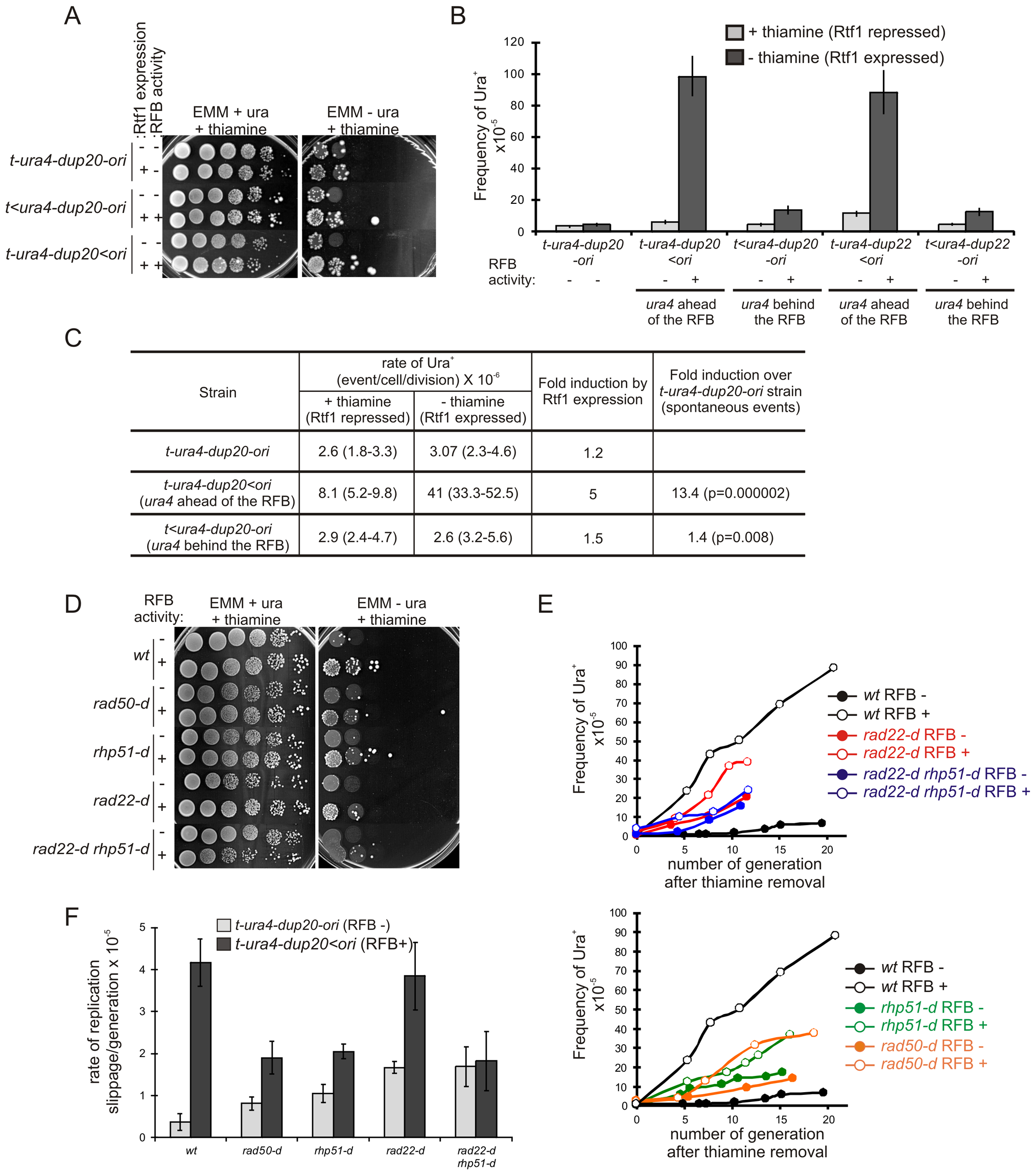 Fork recovery by homologous recombination results in replication slippage.
