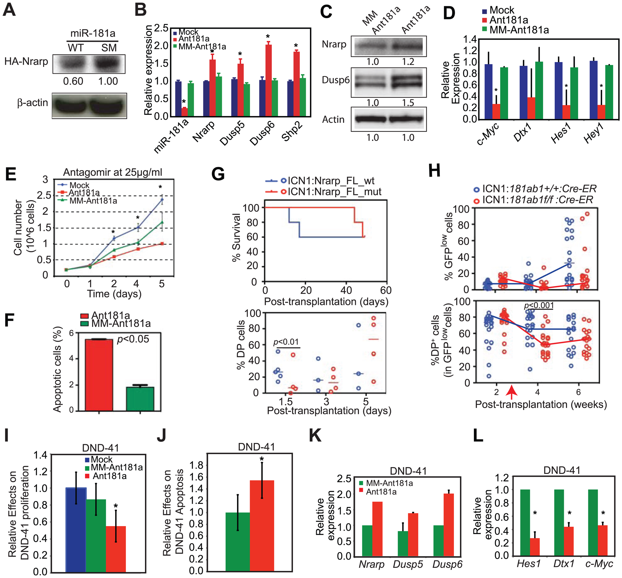 Targets of miR-181a in T-ALL cells and the effects of miR-181a inhibition in T-ALL cells.
