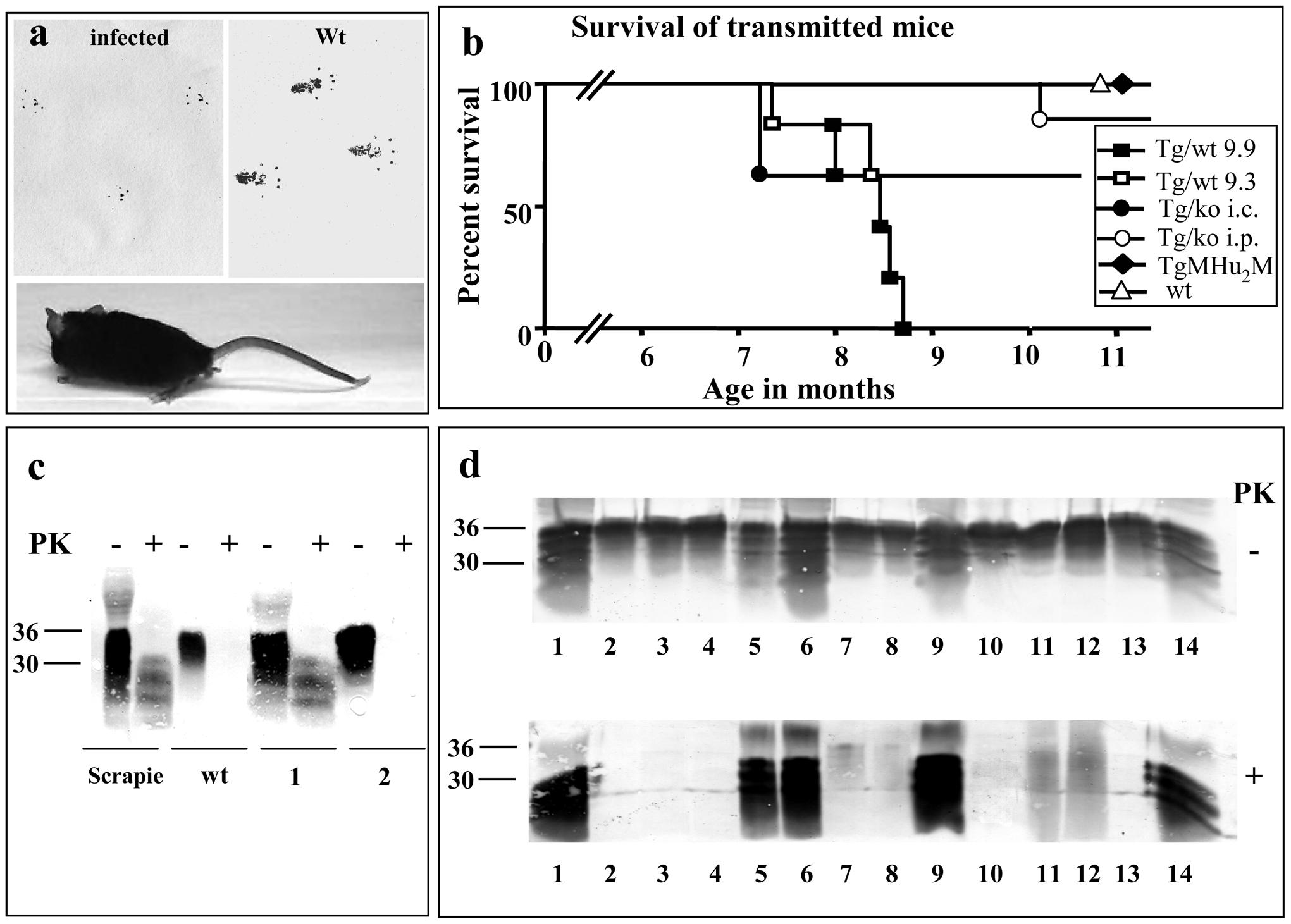 Transmission of TgMHu2ME199K prions to wt mice.