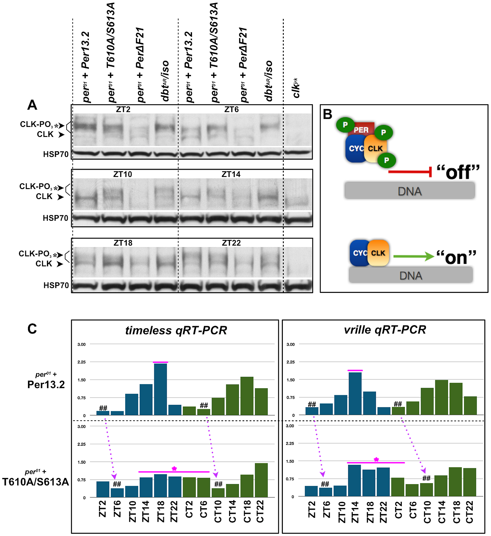 The T610 and S613 mutations affect CLK phosphorylation and CLK-mediated transcriptional output.
