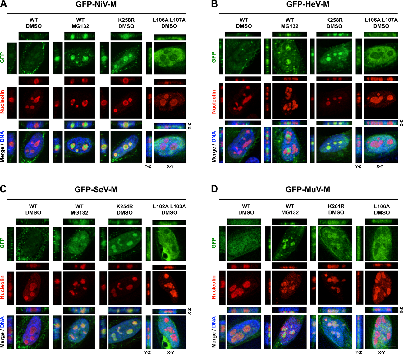 Subnuclear localization of Nipah, Hendra, Sendai and Mumps virus matrix during perturbation of ubiquitination.