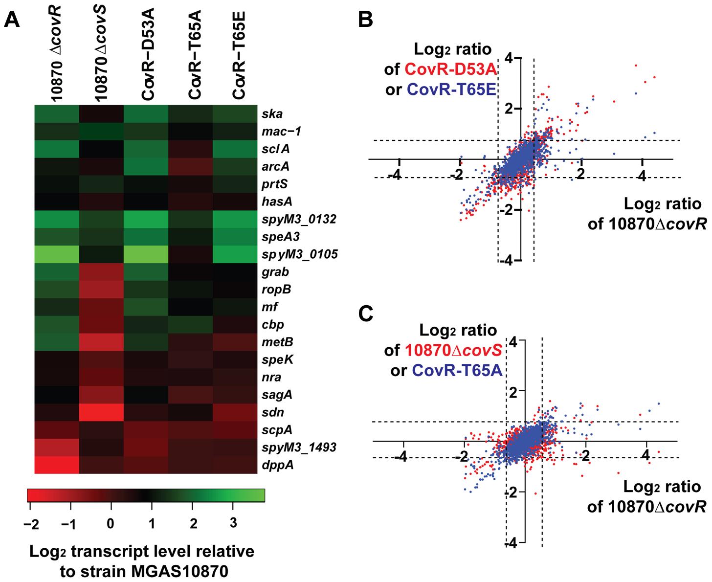 RNA-Seq analysis of various GAS strains.