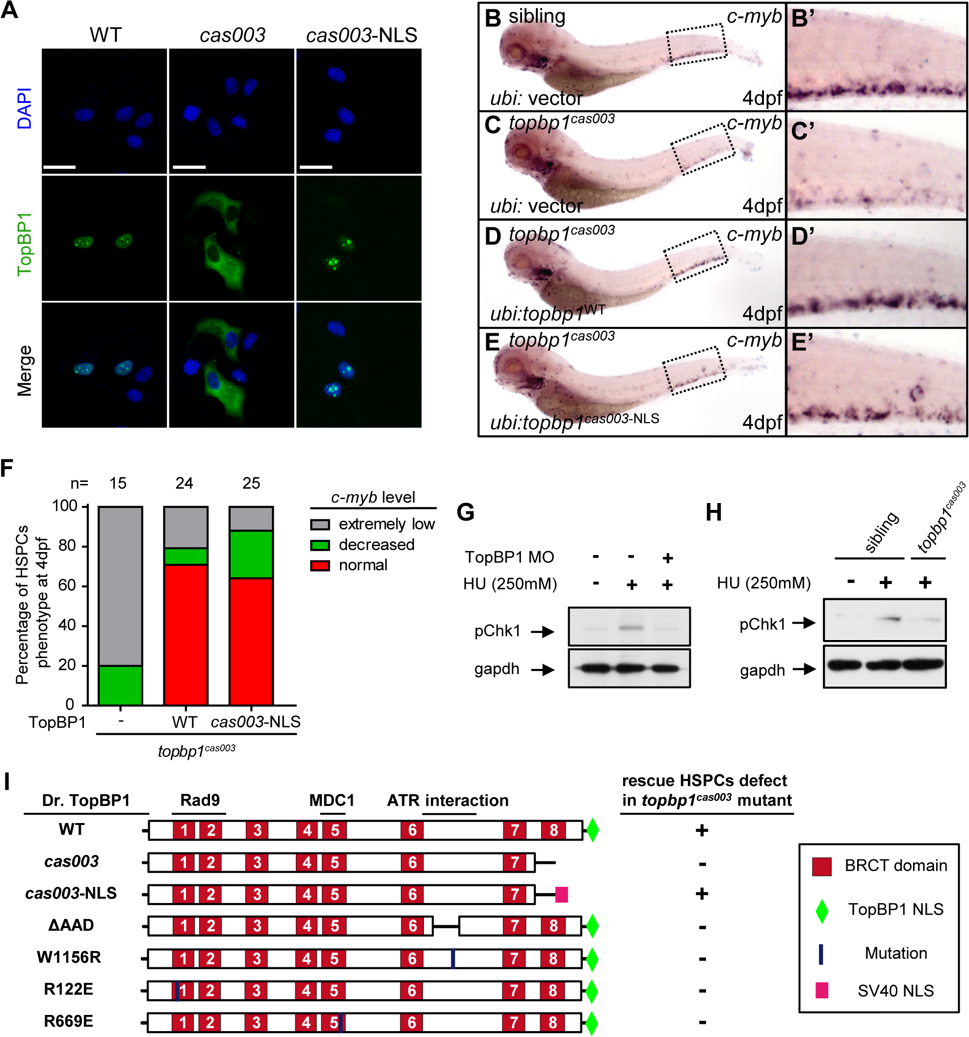 Subcellular mislocalization and defective ATR/Chk1 activation link to defects in HSPCs in the <i>topbp1</i><sup><i>cas003</i></sup> mutants.