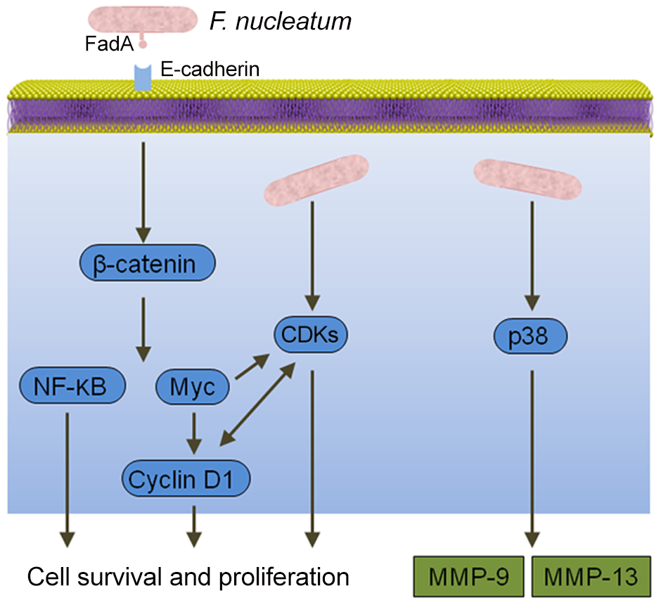 Interactions between <i>F. nucleatum</i> and epithelial cells that could produce an oncogenic phenotype.
