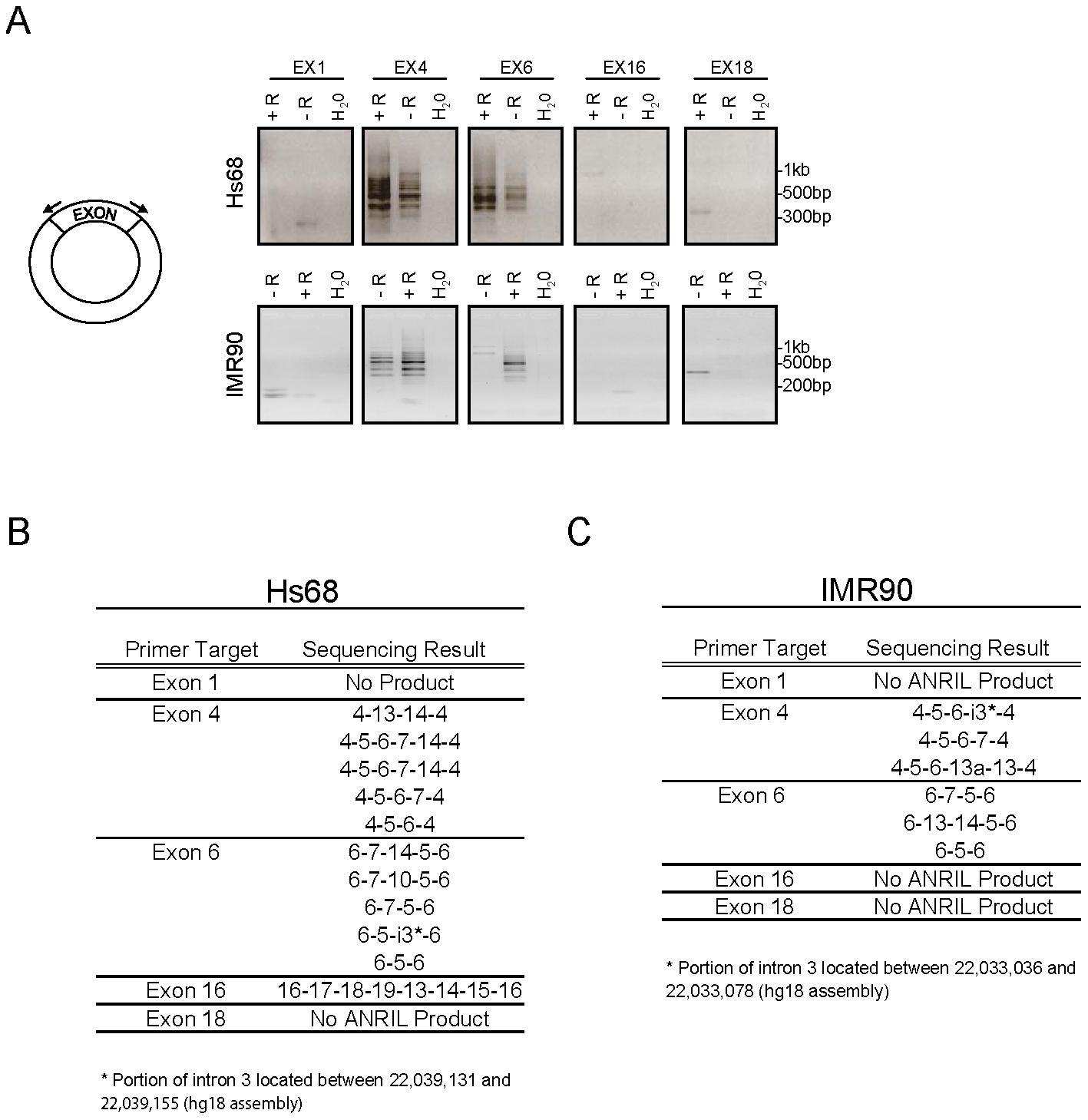 <i>ANRIL</i> circular RNAs predominantly contain exons 4-14.
