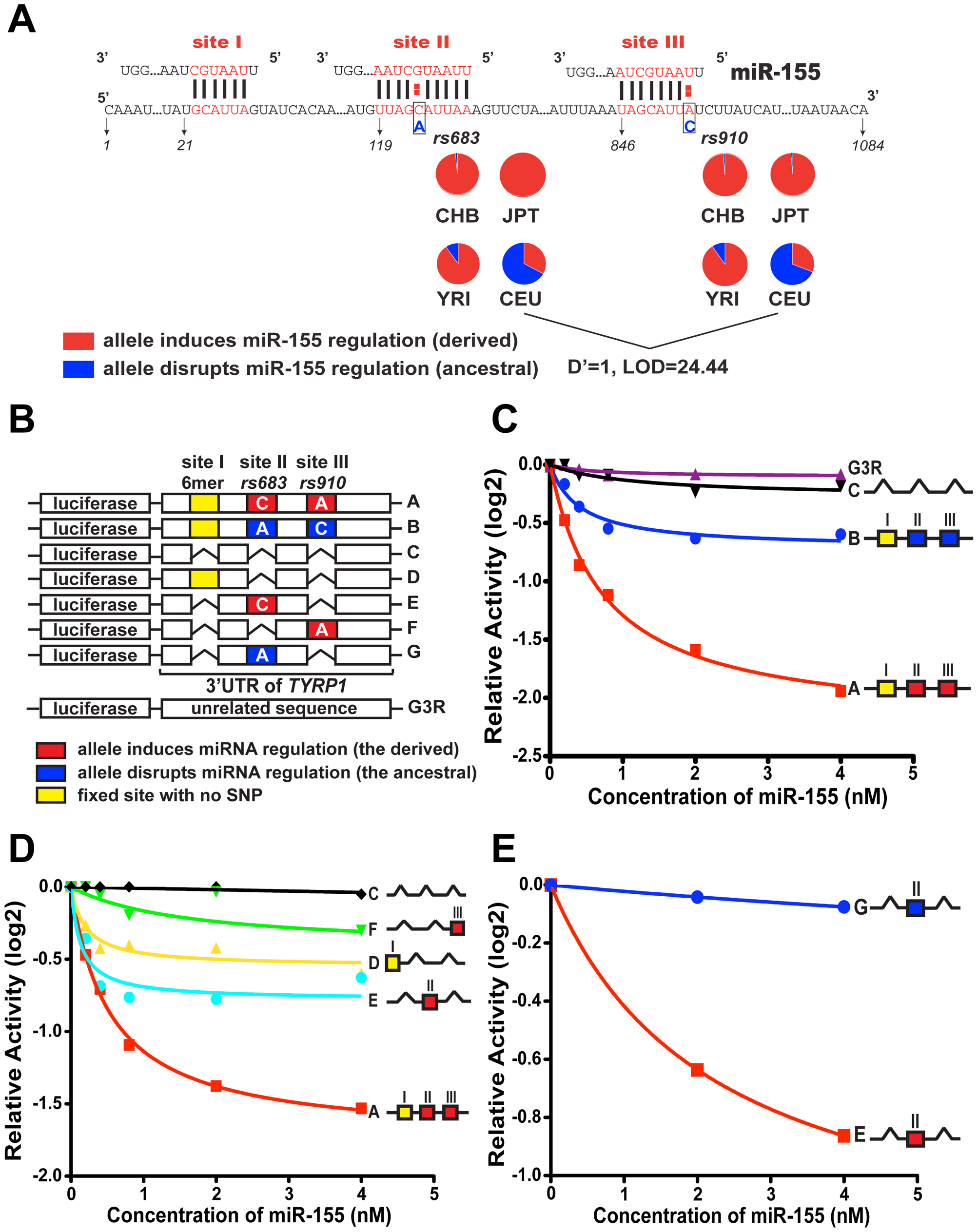 Modulation of miR-155 regulation of <i>TYRP1</i> by rs683 and rs910.