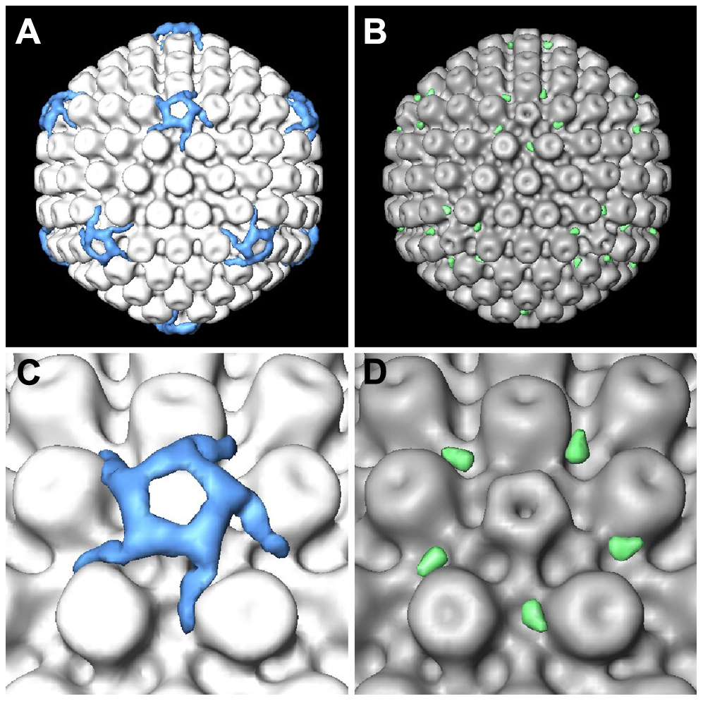 Difference maps between cytosolic capsids and nuclear capsids.