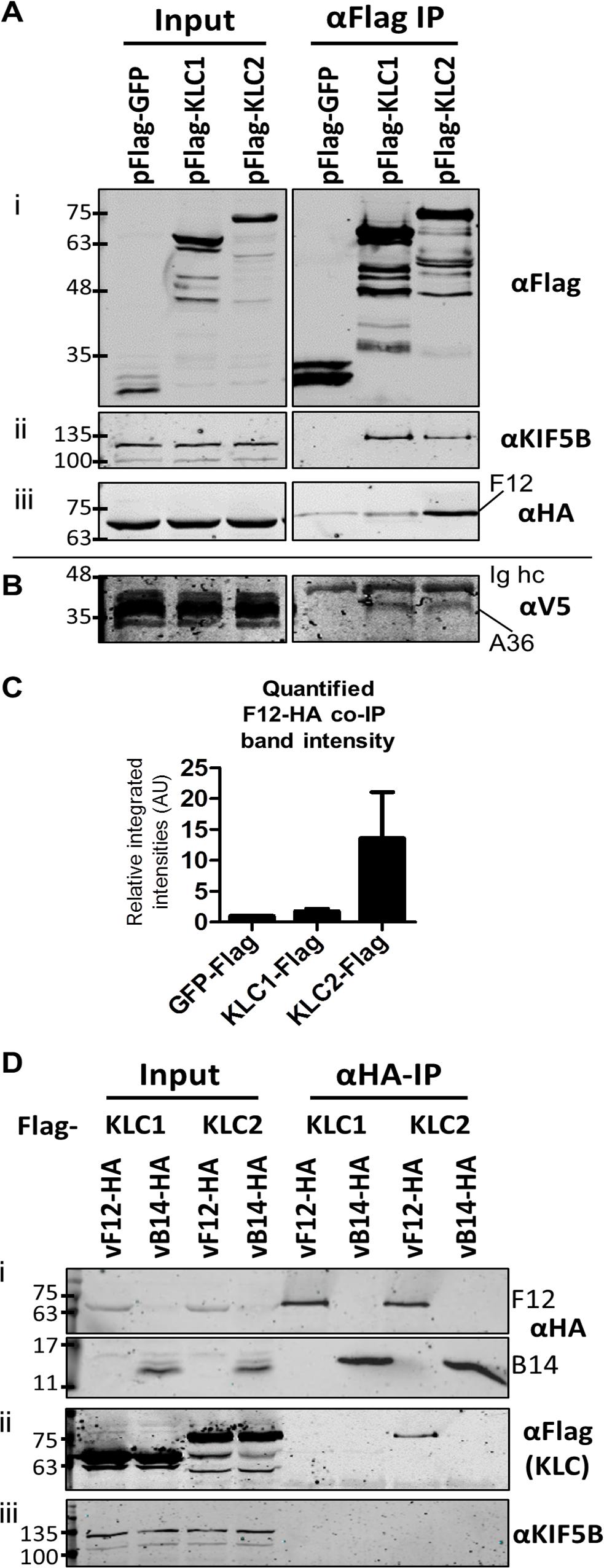 F12 co-immunoprecipitates with kinesin light chain isoform 2.