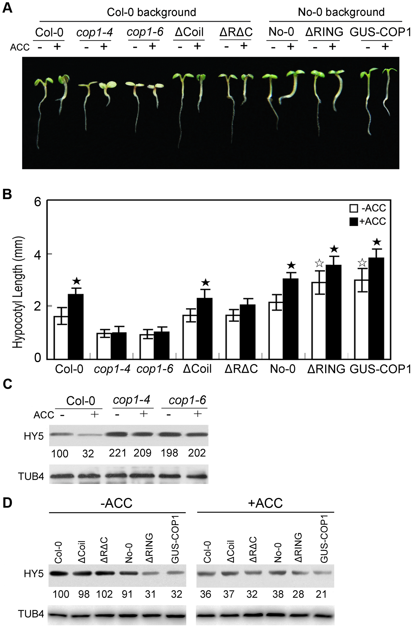 COP1 is required for ethylene-promoted hypocotyl growth.