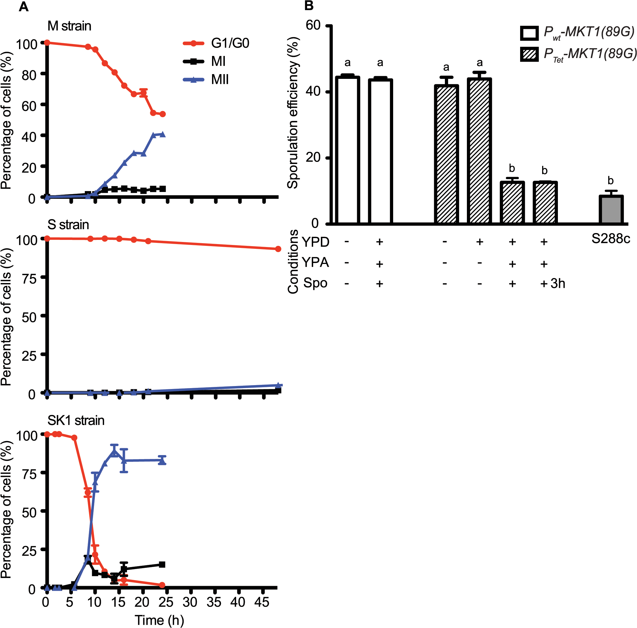 Conditional expression of <i>MKT1(89G)</i> during the early phase in sporulation affects the sporulation efficiency.