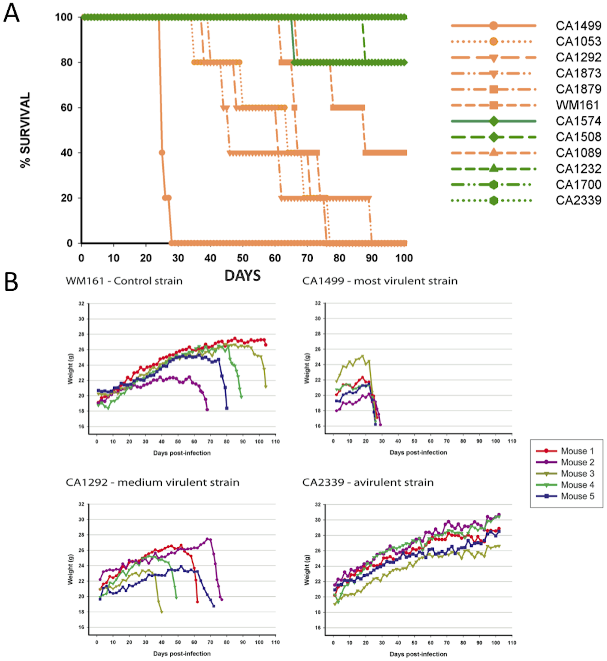 Isolates from the VGIIIa group exhibit increased virulence compared to VGIIIb in an in vivo murine model of infection.