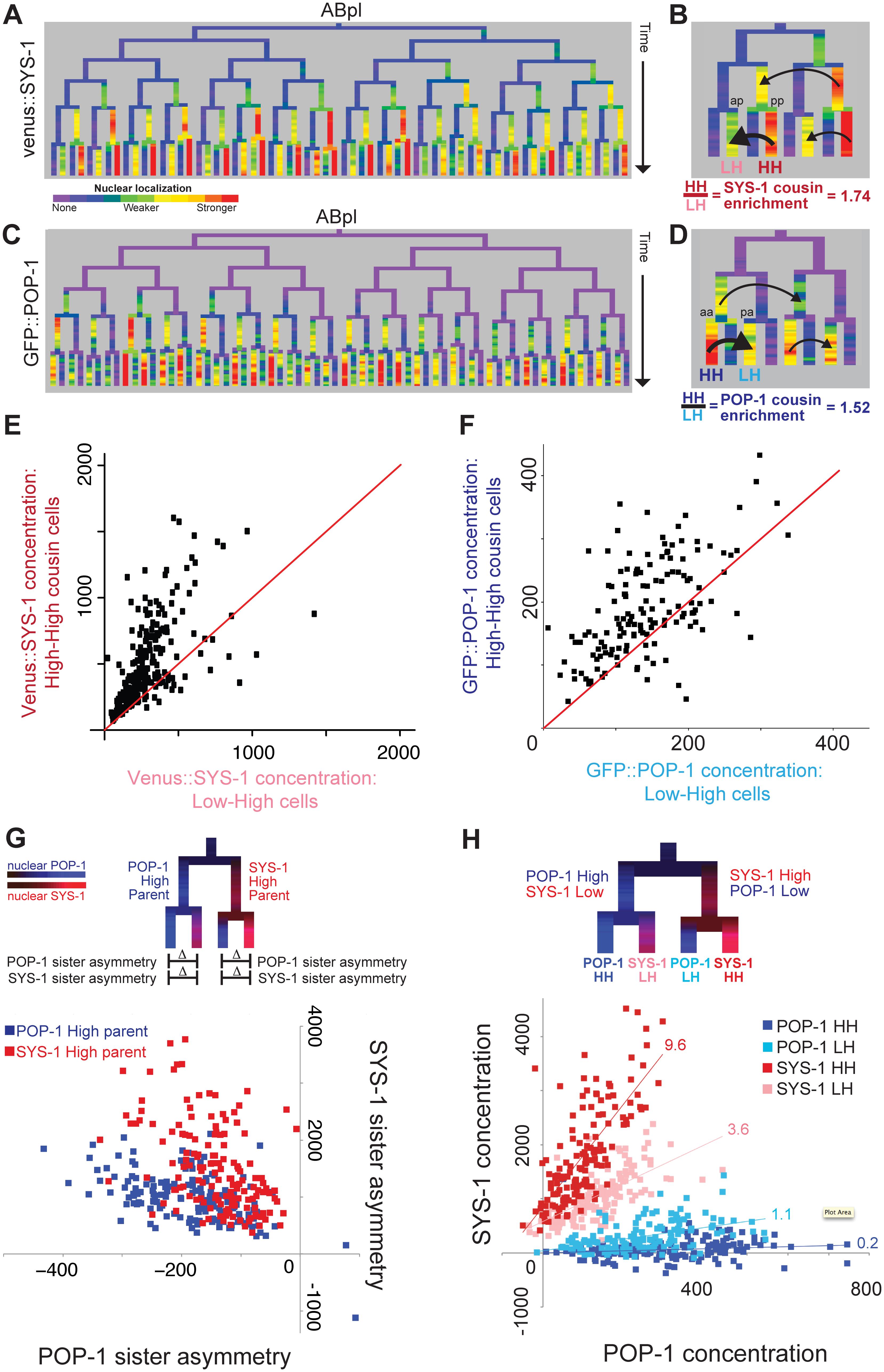 β-catenin and TCF show enrichment when localized to the nucleus in successive cell cycles.