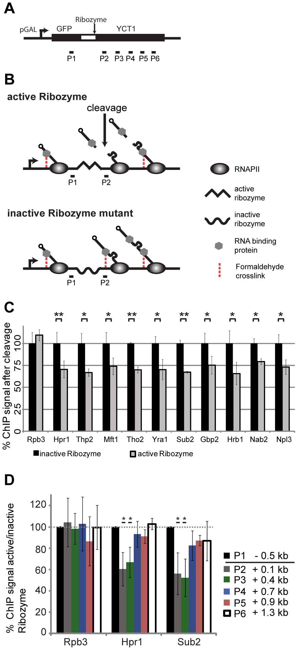 RNA is necessary for recruitment of TREX, Nab2 and Npl3 to chromatin, but not the cause for the 5′ to 3′ increase in TREX occupancy.