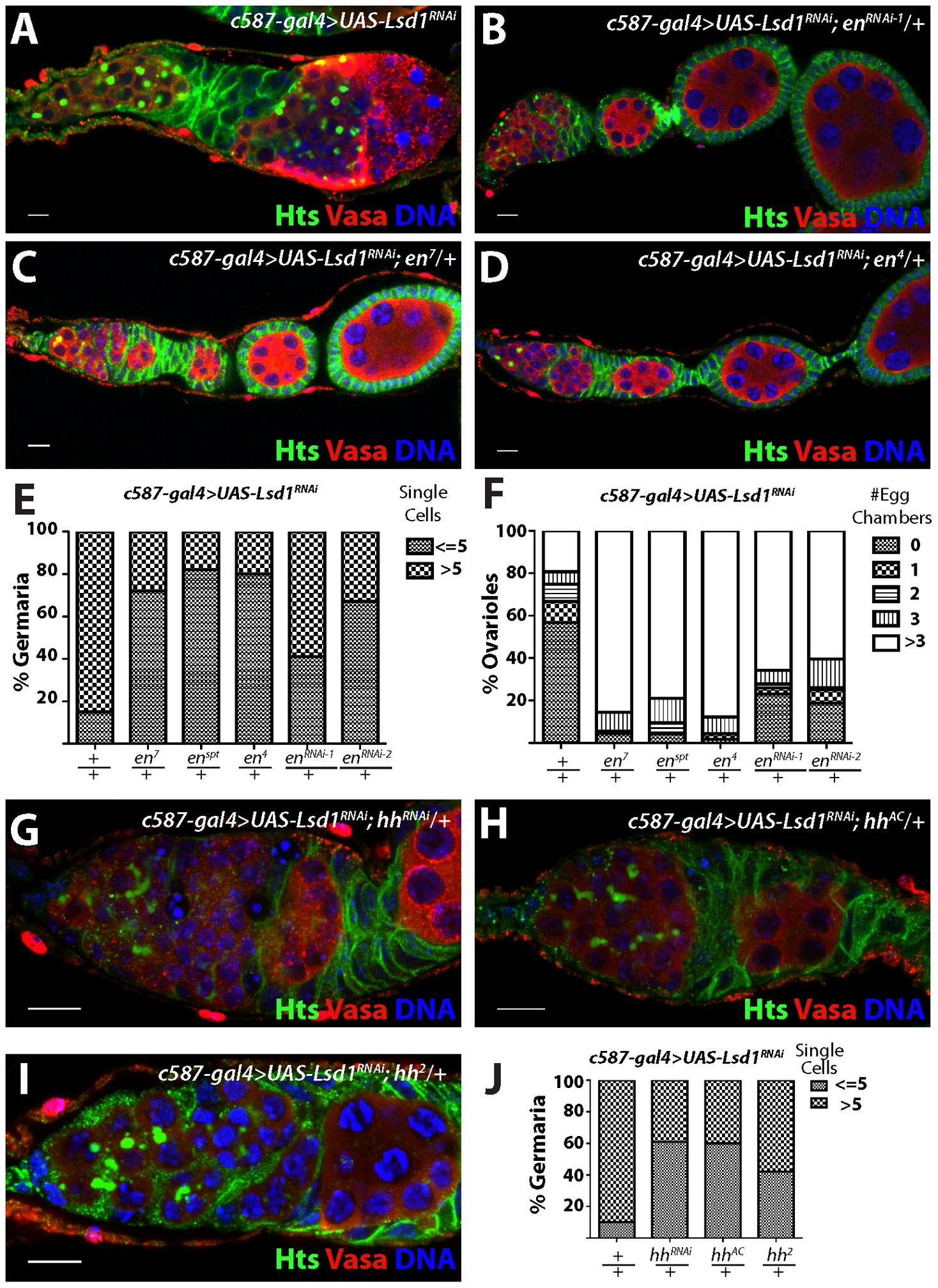 <i>engrailed</i> mutations suppress the <i>Lsd1</i> RNAi phenotype.