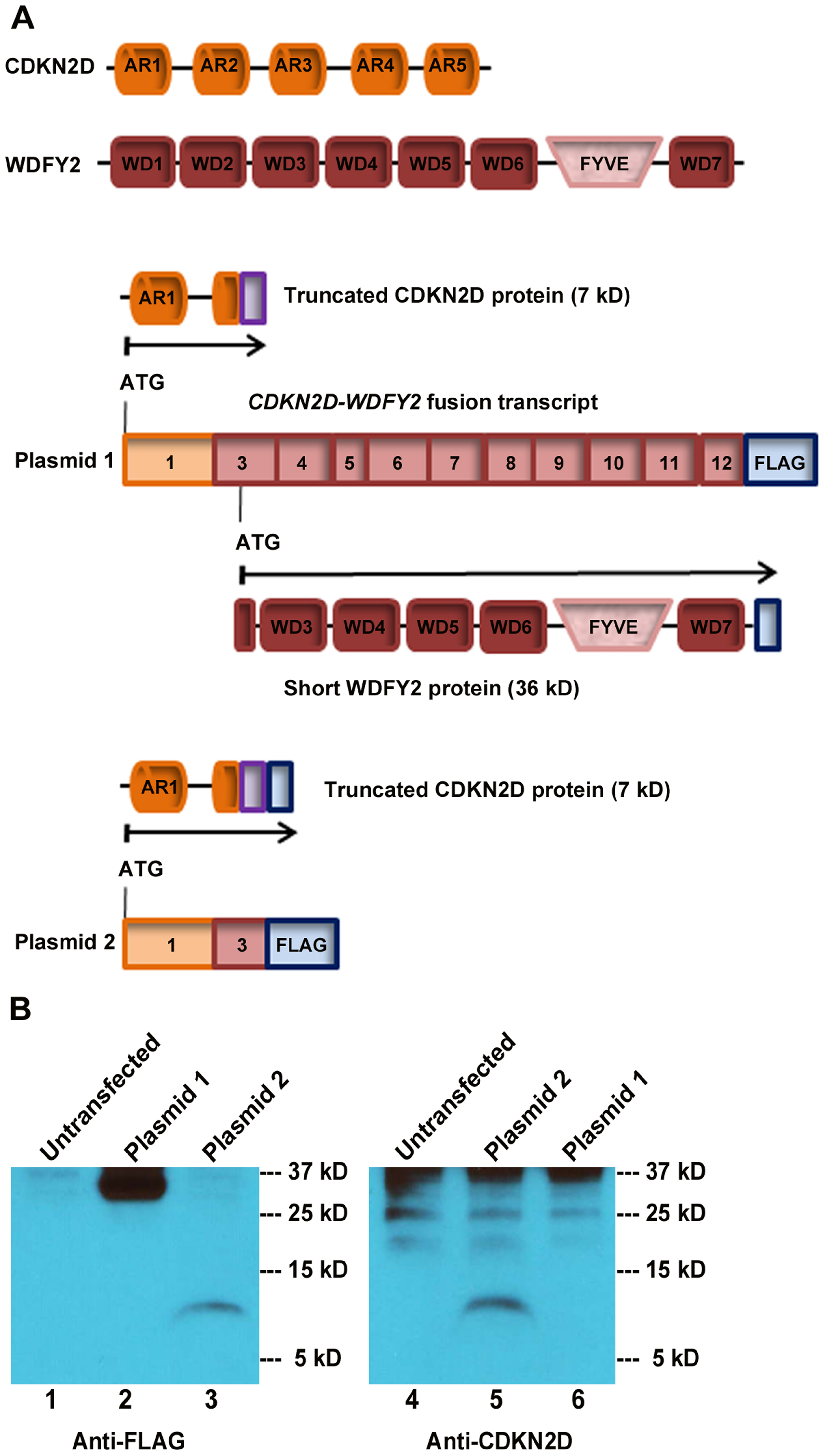 <i>CDKN2D-WDFY2</i> fusion transcript gives rise to a short WDFY2 protein isoform.