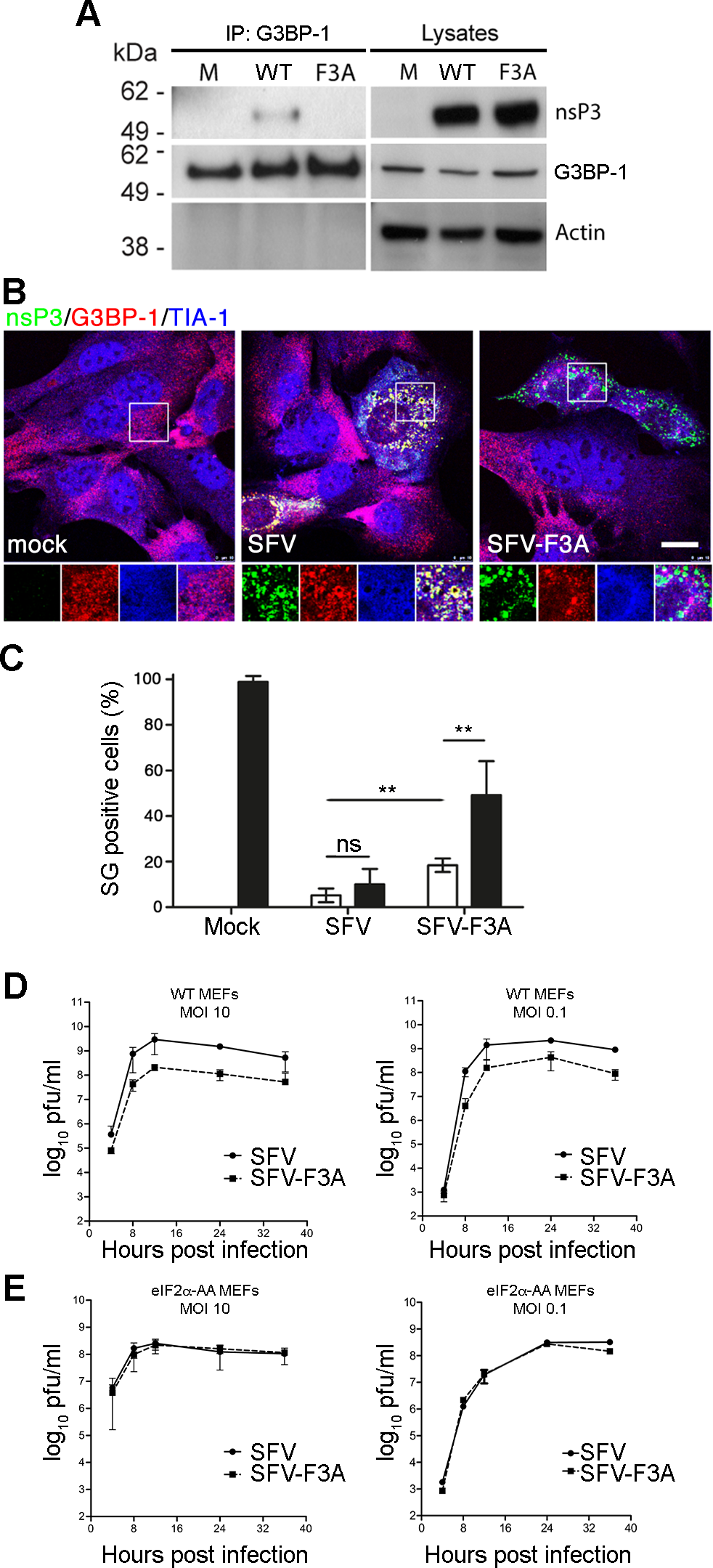 SFV-F3A does not sequester G3BP, induces a stronger SG response and is attenuated <i>in vitro</i>.